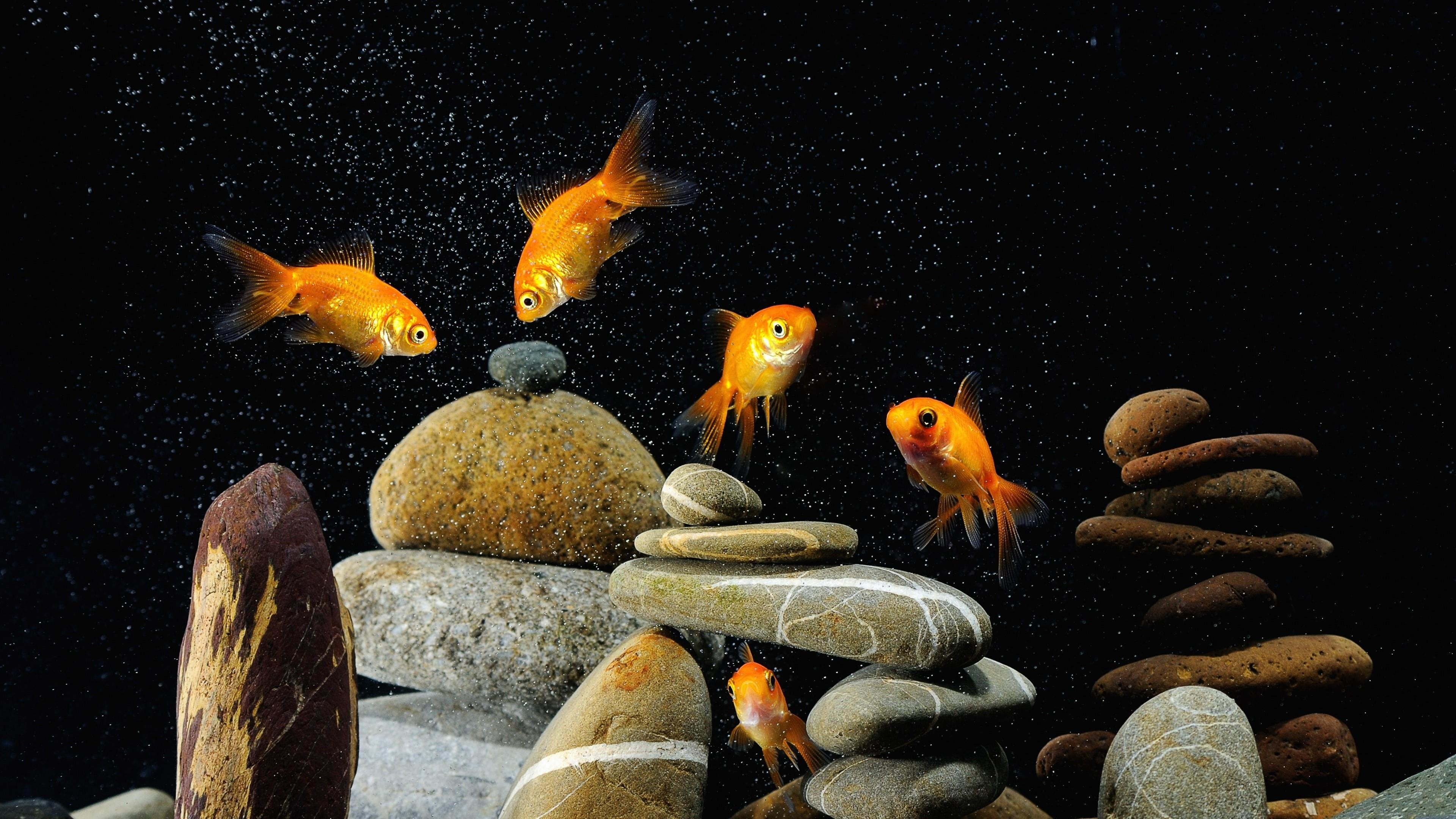 Res: 3840x2160, Goldfish Wallpaper | Wallpaper Studio 10 | Tens of thousands HD and UltraHD  wallpapers for Android, Windows and Xbox
