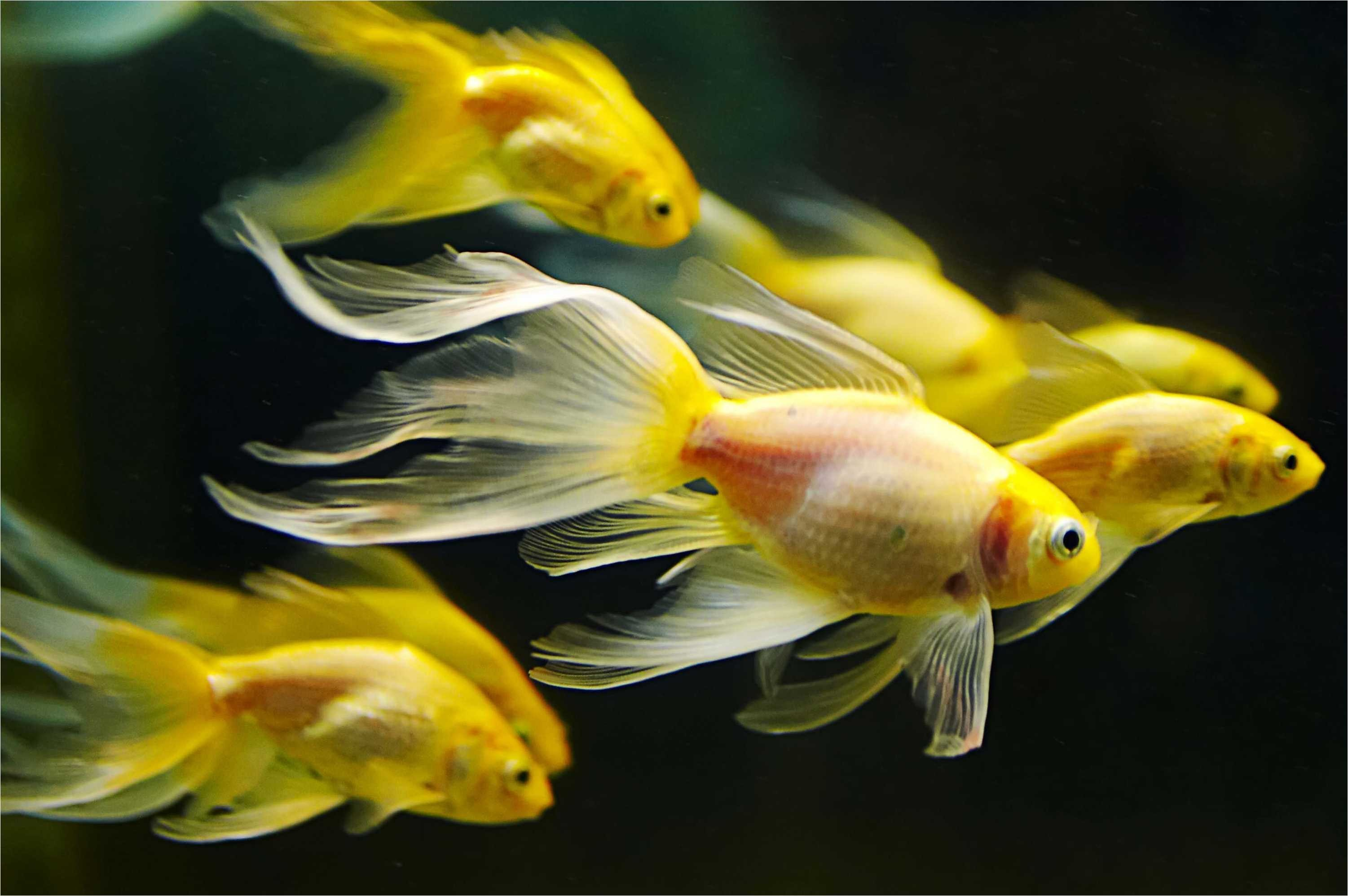 Res: 3002x1995, Awesome Goldfish HD Wallpaper Pack 871 | Free Download