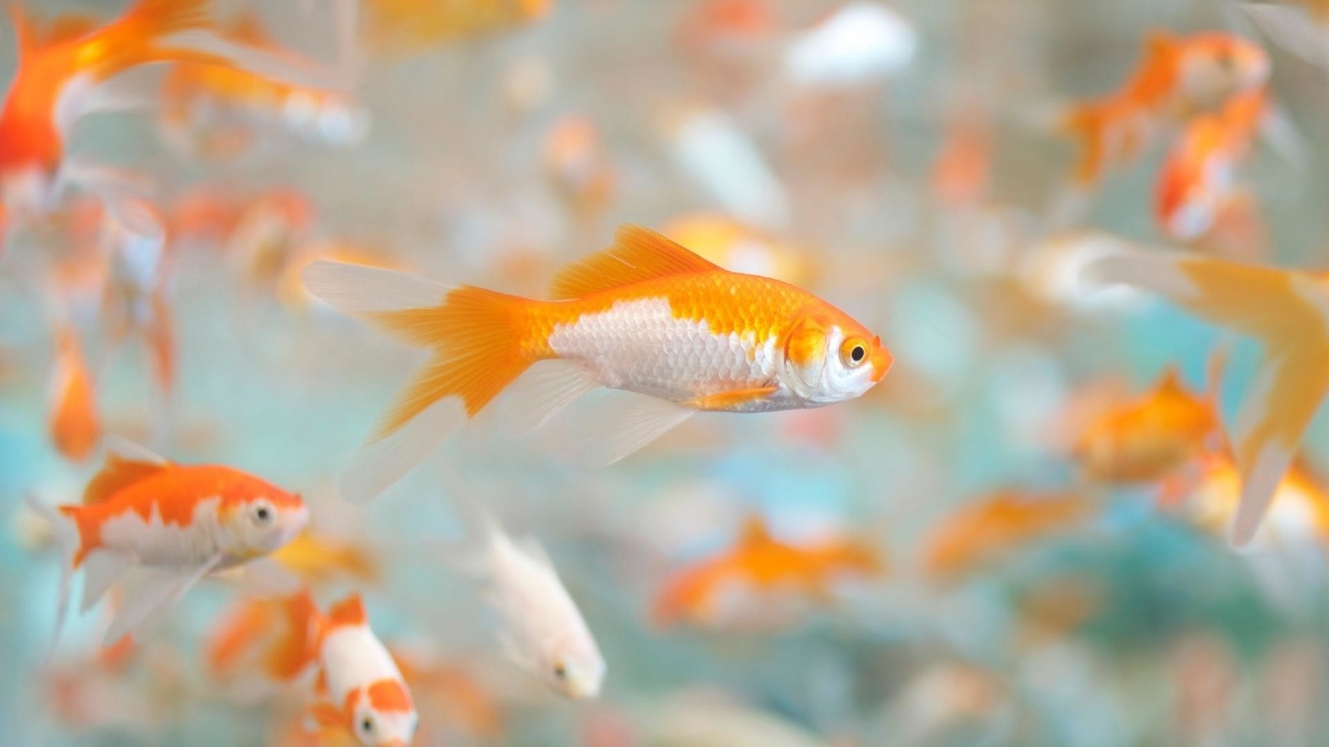 Res: 1920x1080, Goldfish (Carassius Auratus) Wallpaper | Wallpaper Studio 10 | Tens of  thousands HD and UltraHD wallpapers for Android, Windows and Xbox