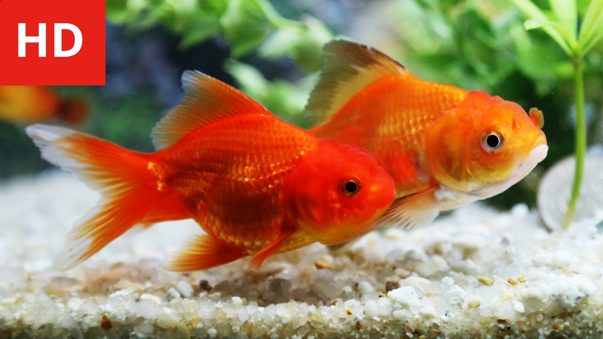 Res: 1920x1080, goldfish ...