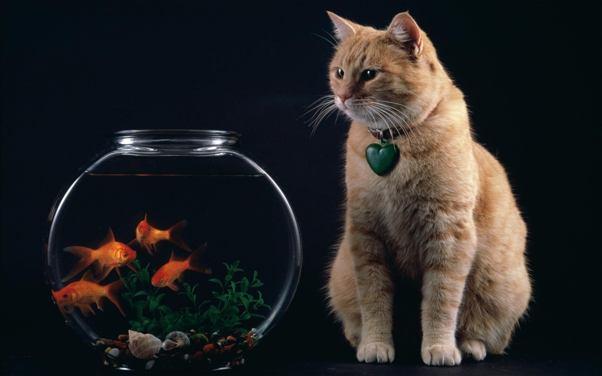 Res: 1920x1200, cat and goldfish