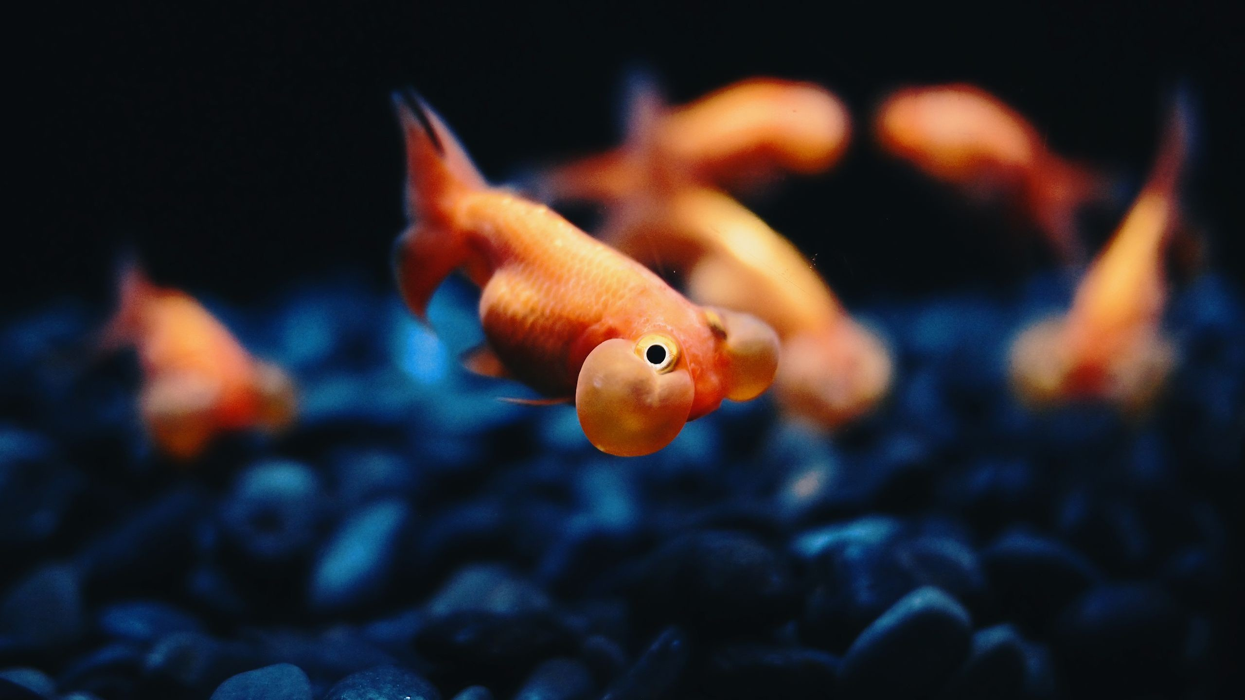 Res: 2560x1440, Goldfish Wallpapers HQ