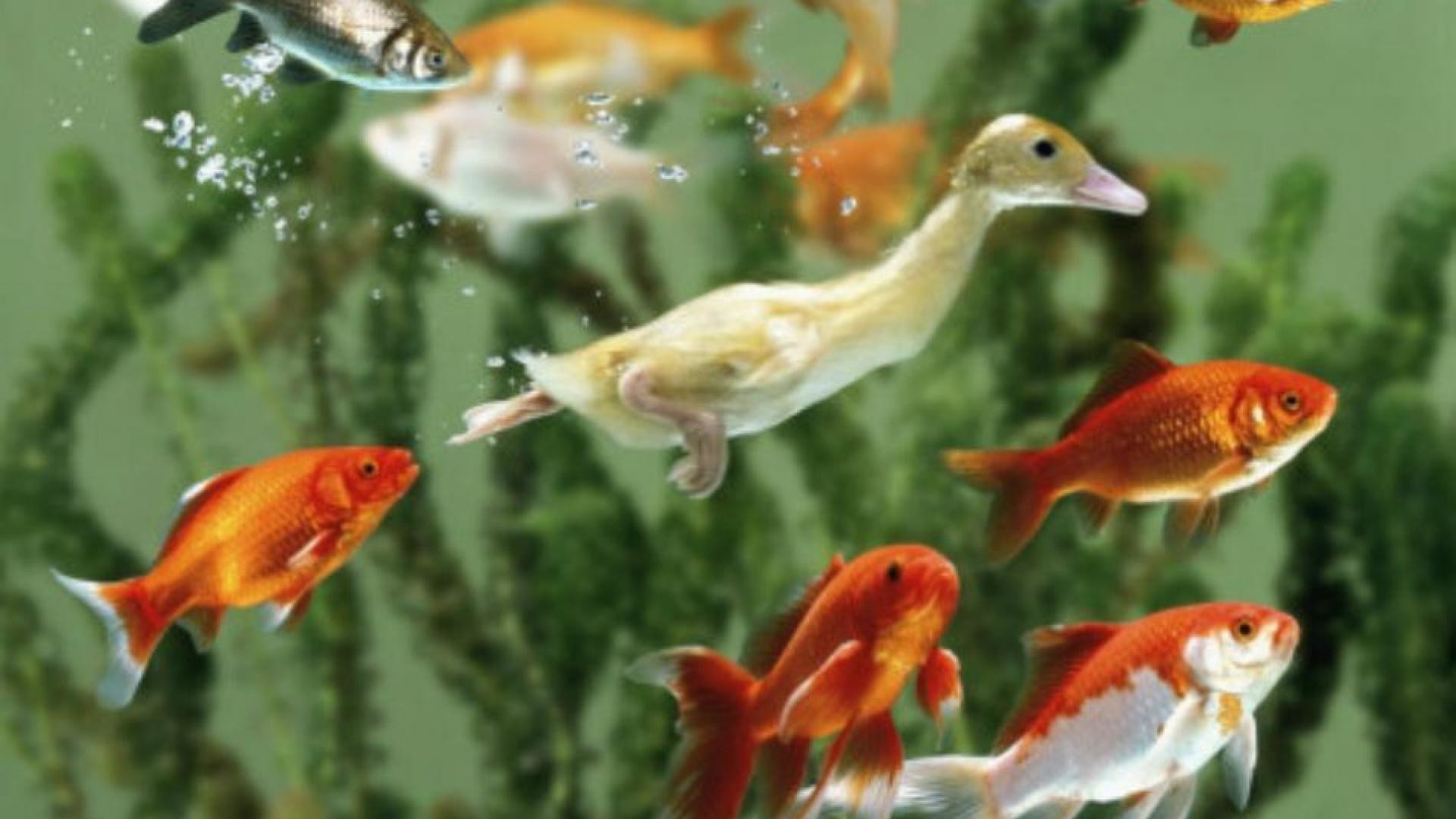 Res: 1920x1080, SWIMS UNDERWATER AMONG GOLDFISH WALLPAPER 60600 HD Wallpapers