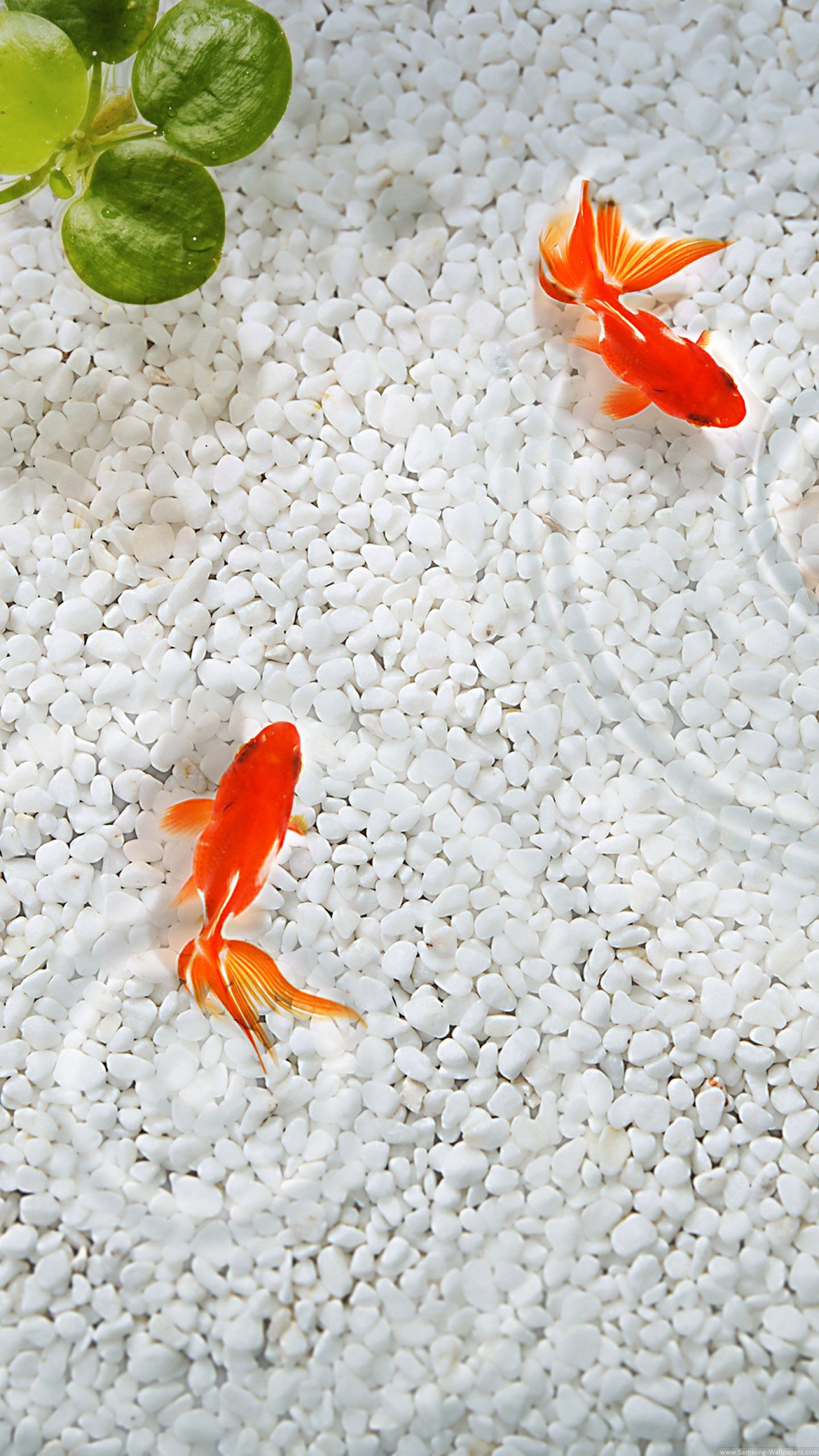 Res: 1440x2560, Goldfish--wallpaper-ANdroid.jpg (1440×2560)