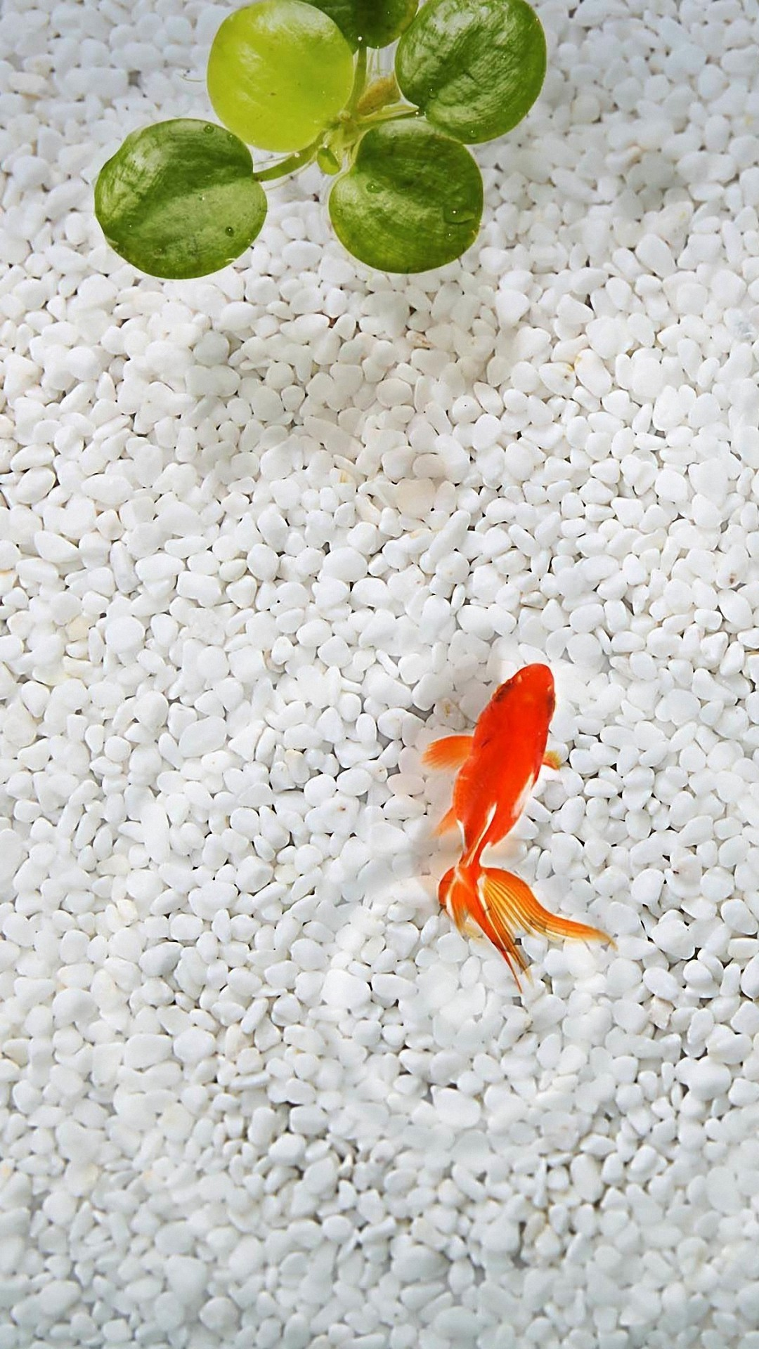 Res: 1080x1920, cute goldfish iphone 6 wallpapers HD