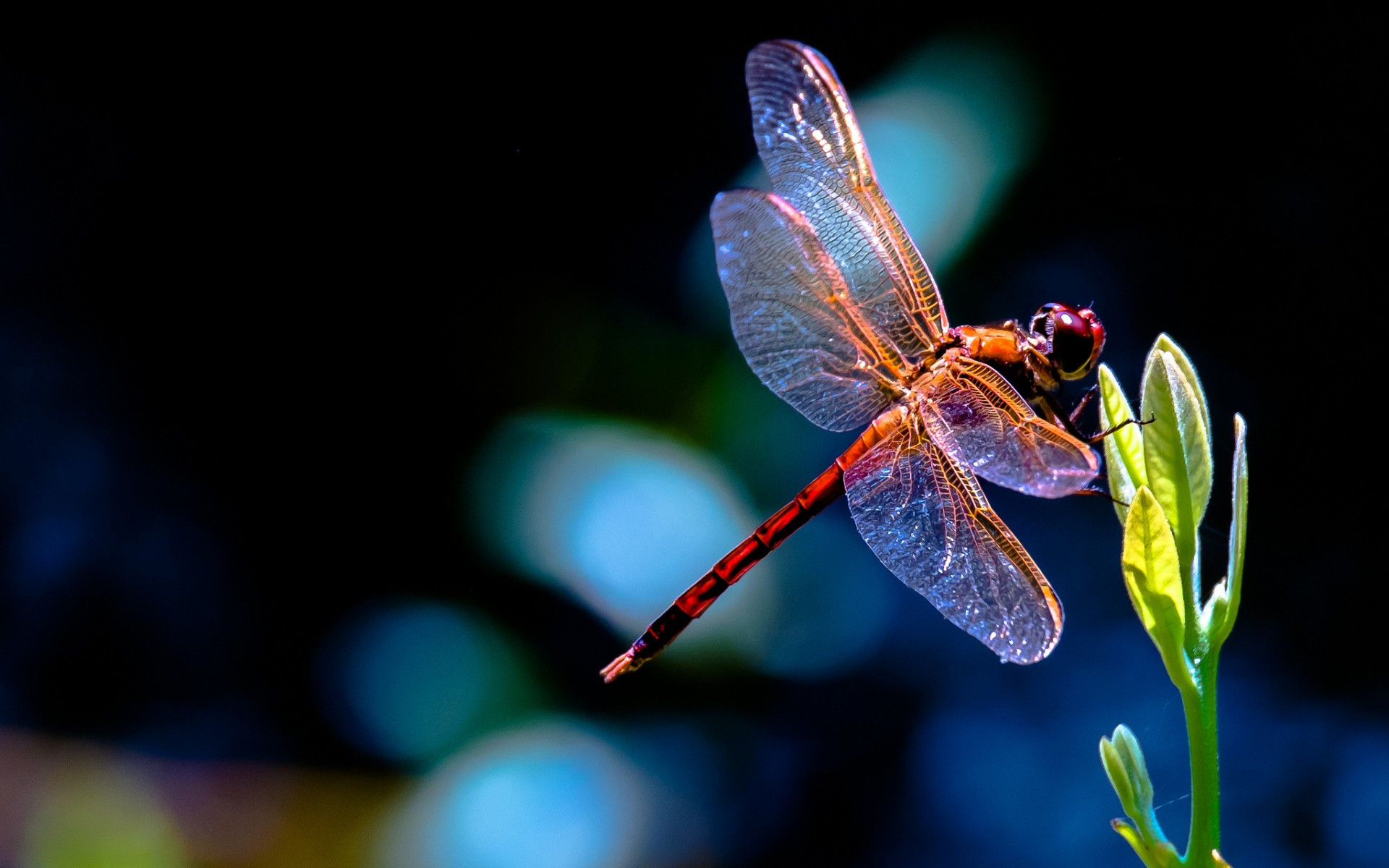 Res: 1920x1200, Dragonflies images Dragonfly HD wallpaper and background photos