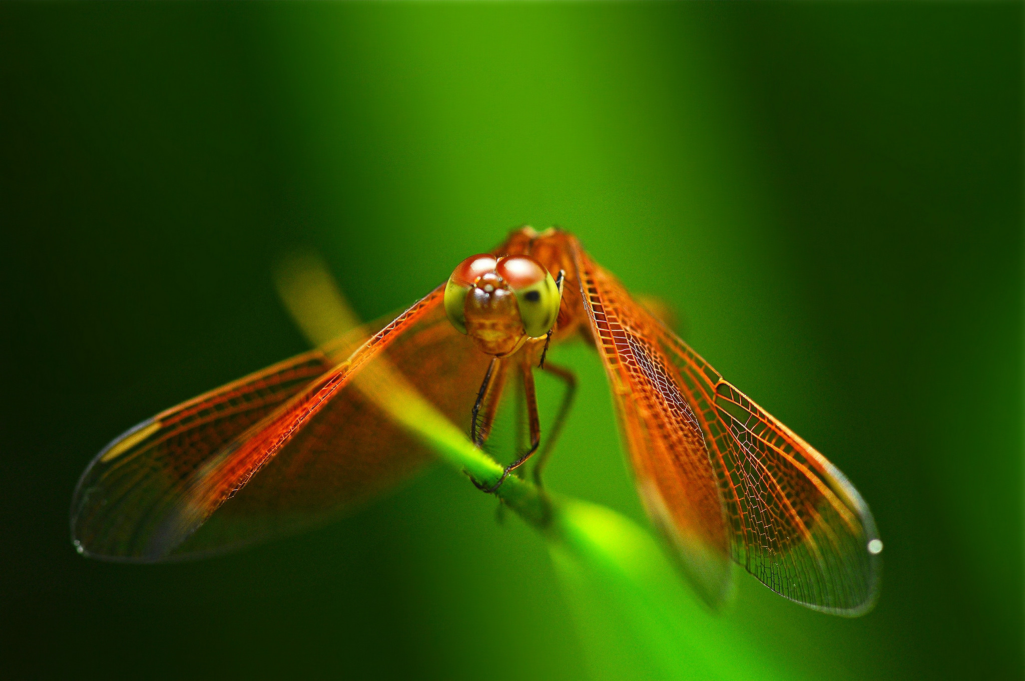 Res: 2048x1360, Animal - Dragonfly Wallpaper
