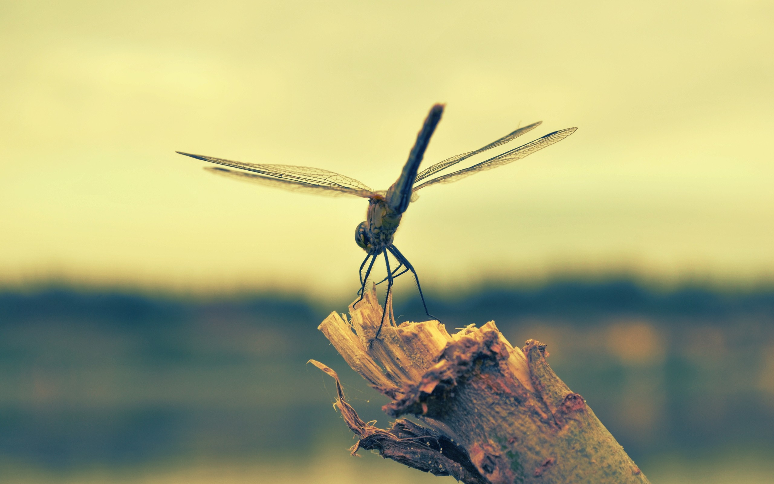 Res: 2560x1600, Dragonfly in Flight