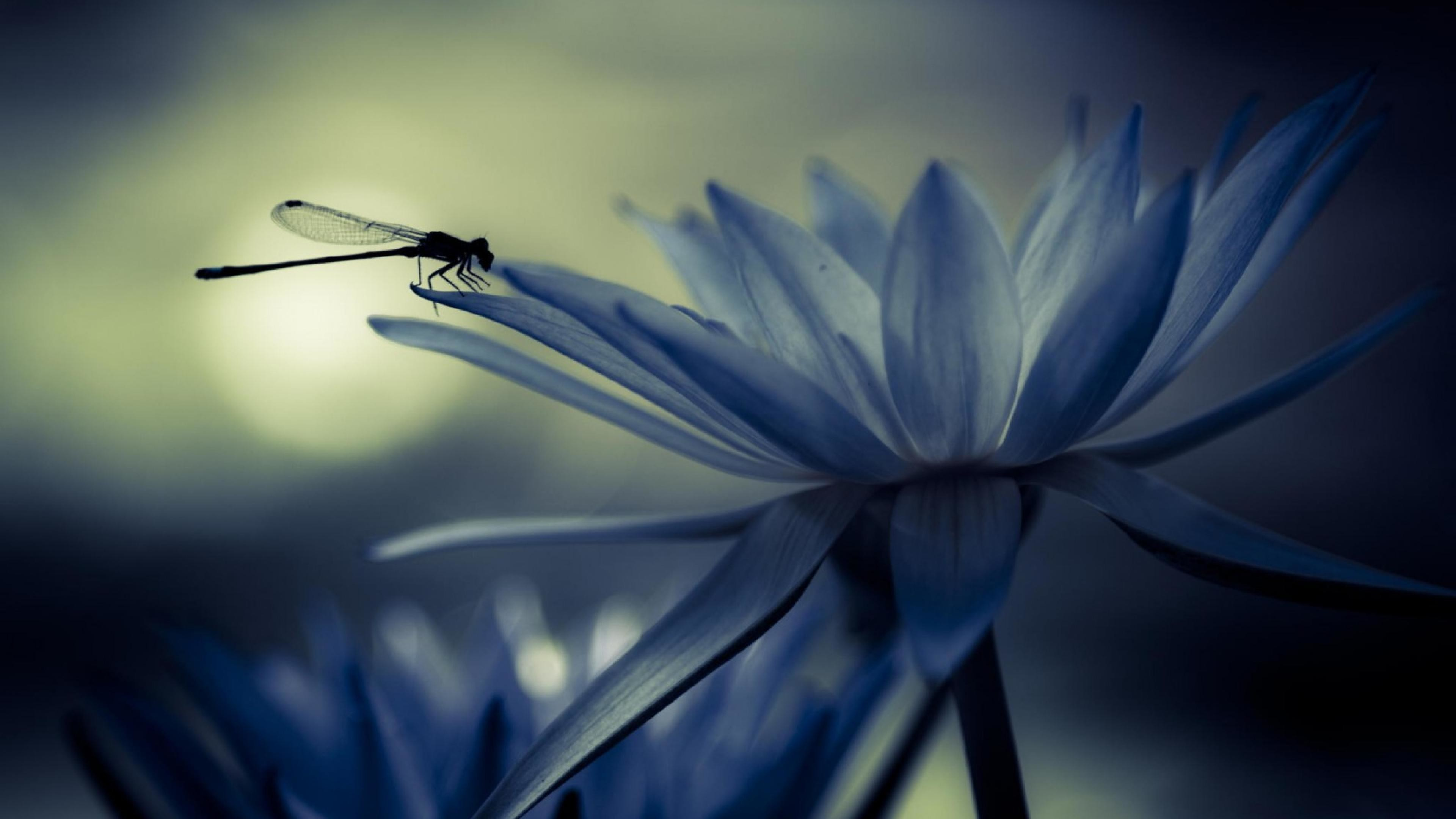 Res: 3840x2160, Water lily dragonfly insect  wallpaper.