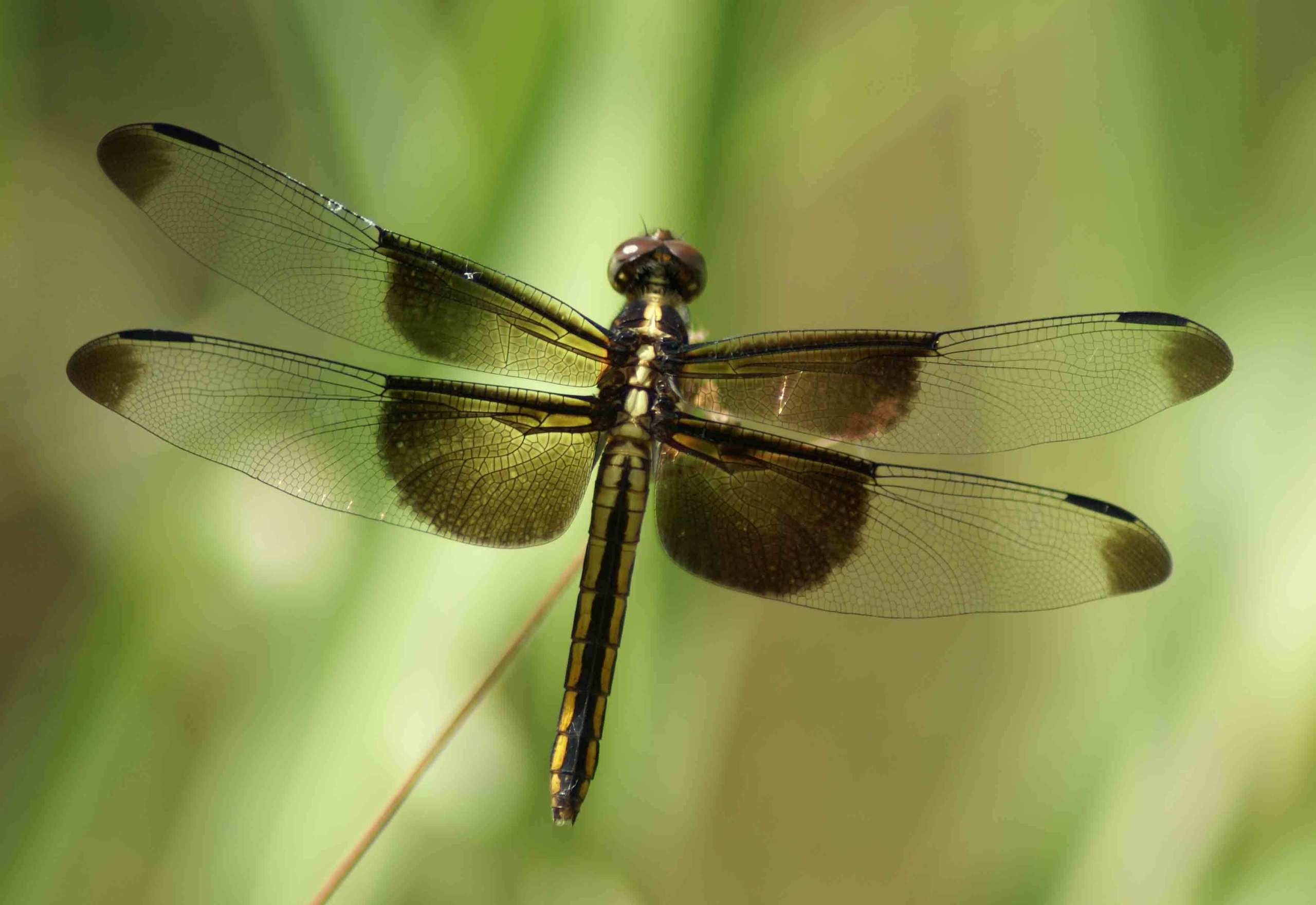 Res: 2560x1760, Dragonfly - Dragonflies Photo (22412607) - Fanpop