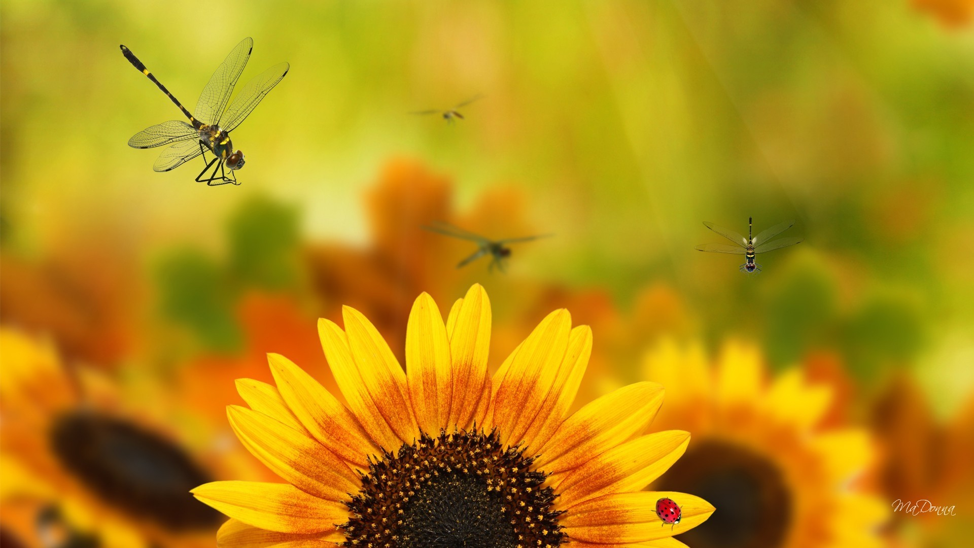 Res: 1920x1080, Dragonflies Tag - Yellow Bright Fall Fleurs Orange Dragonflies Green Gold  Autumn Funflower Sunflowers Dragonfly Flowers