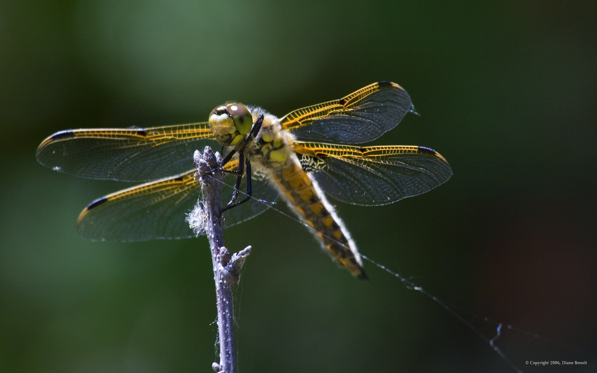 Res: 1920x1200, Dragonflies, HD Quality Wallpapers For Free