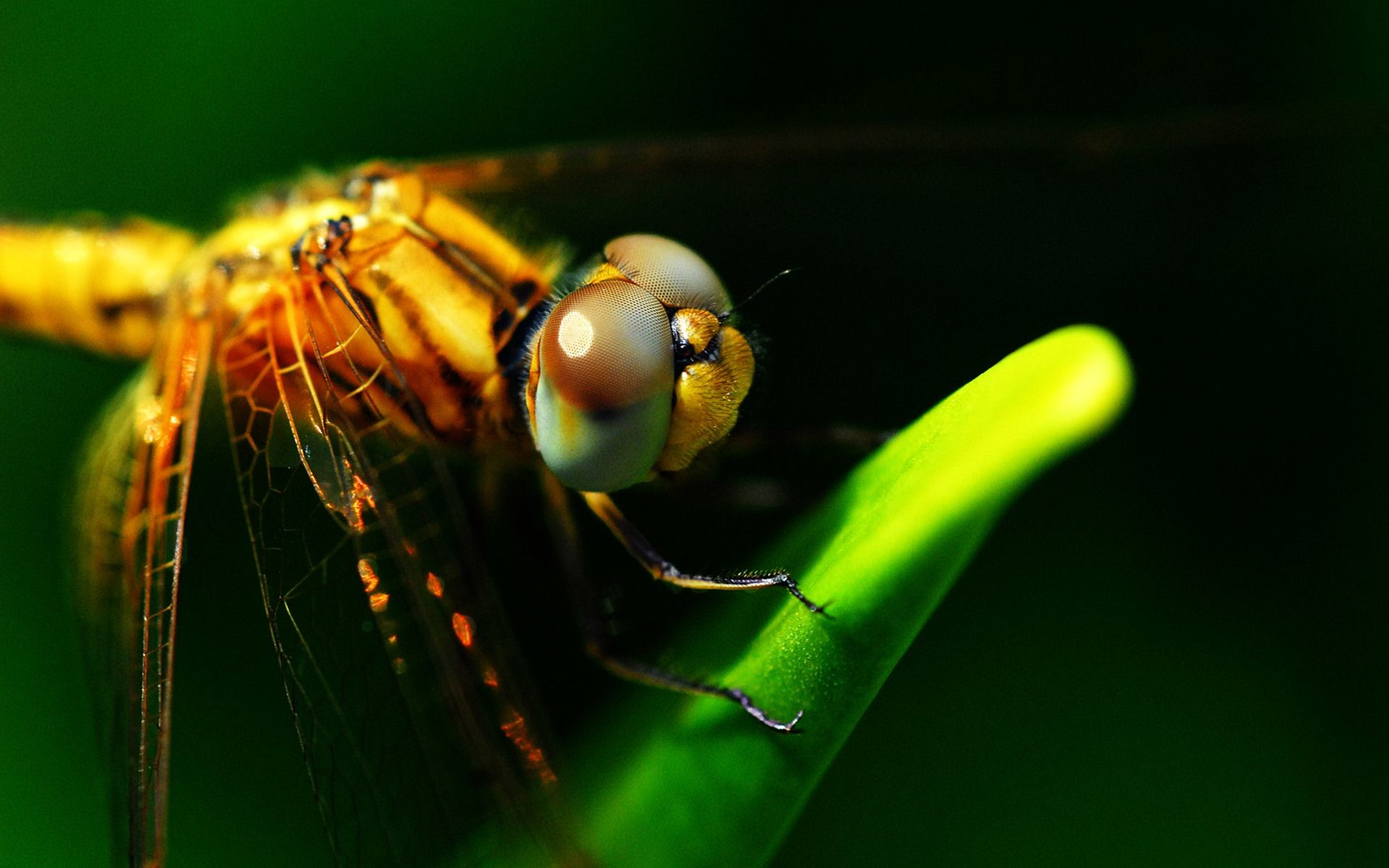 Res: 1920x1200, Image: Dragonflies Eyes wallpapers and stock photos. Â«