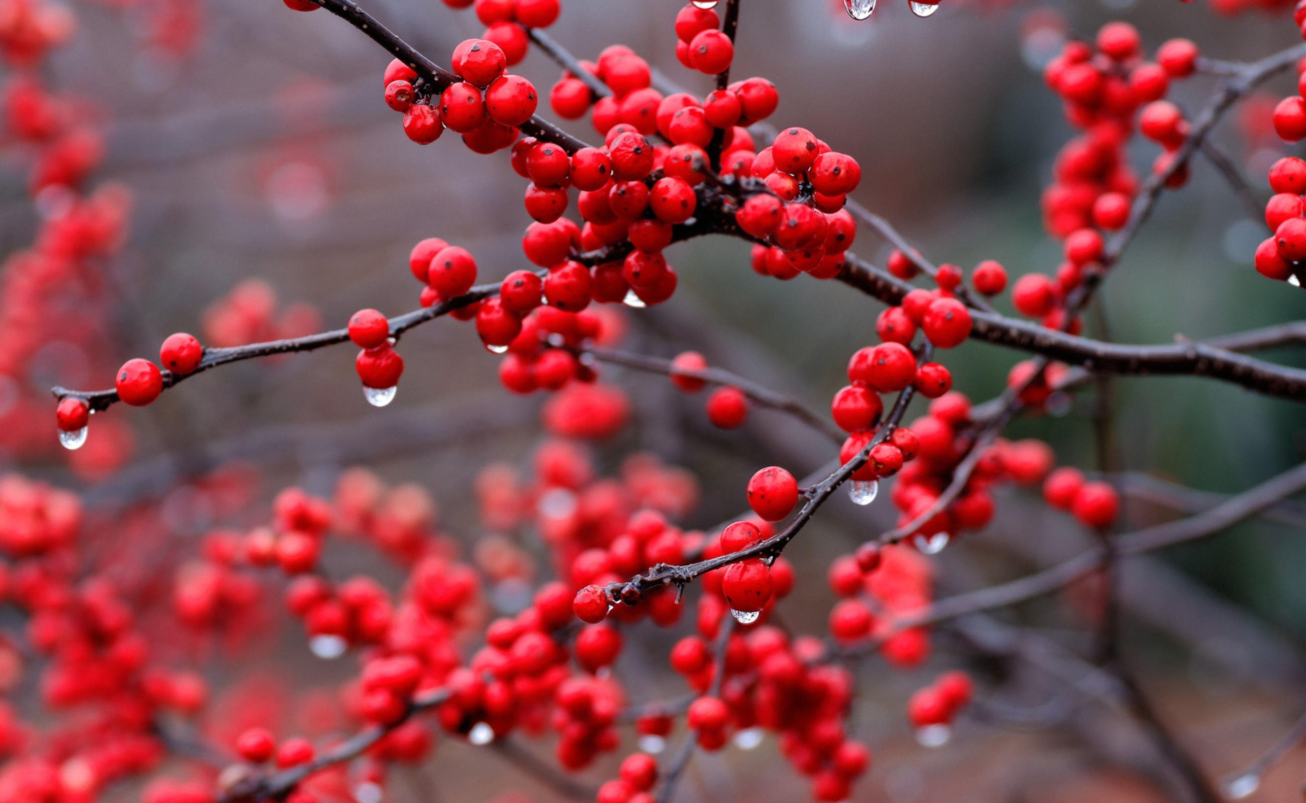 Res: 2600x1600, Red Berry Branch And Rain Drops (click to view)
