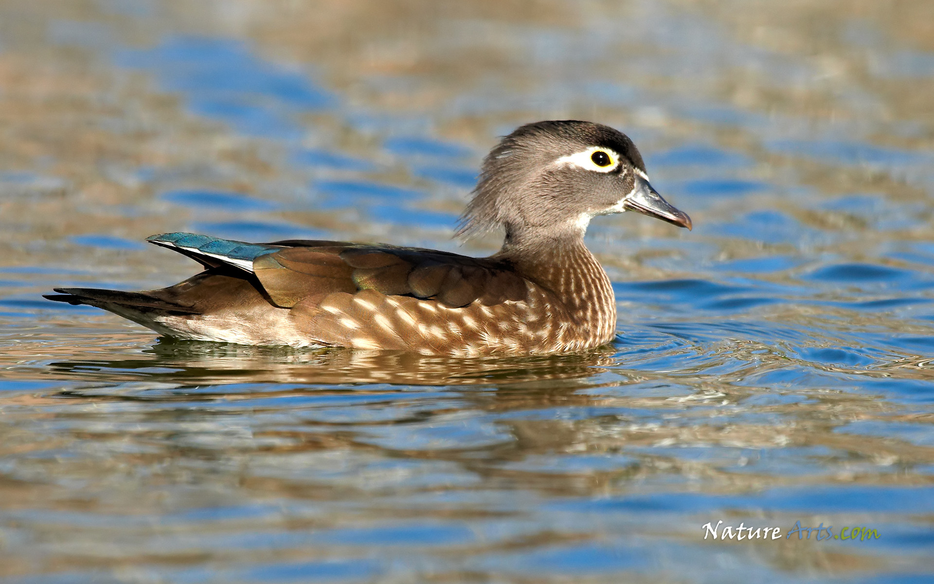 Res: 1920x1200, Wood Duck (Female). Wallpaper Size