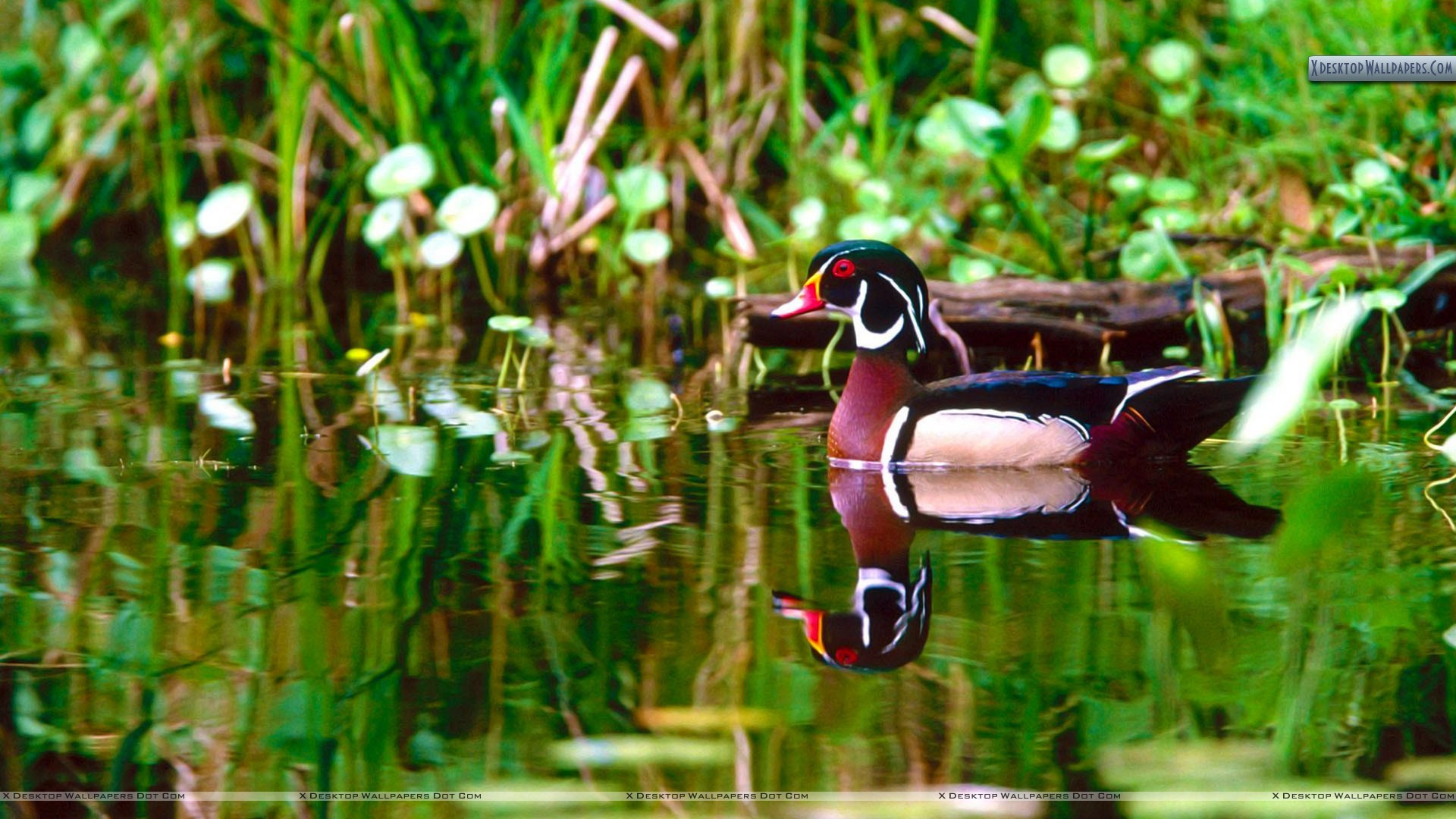 "Res: 1920x1080, You are viewing wallpaper titled ""Wood Duck ..."