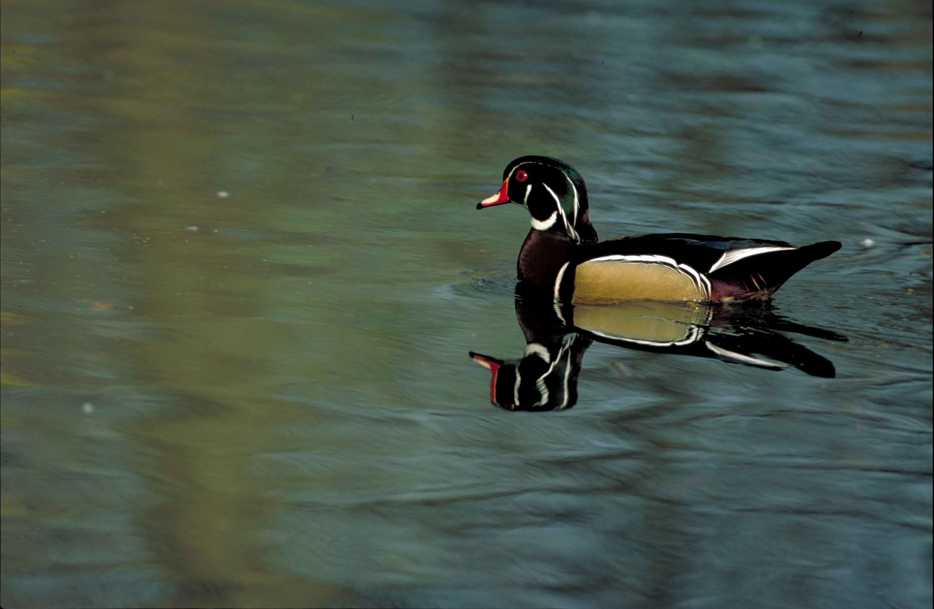 Res: 2985x1945, up-close, wood, duck, bird, sposa, swimming, quiet, water