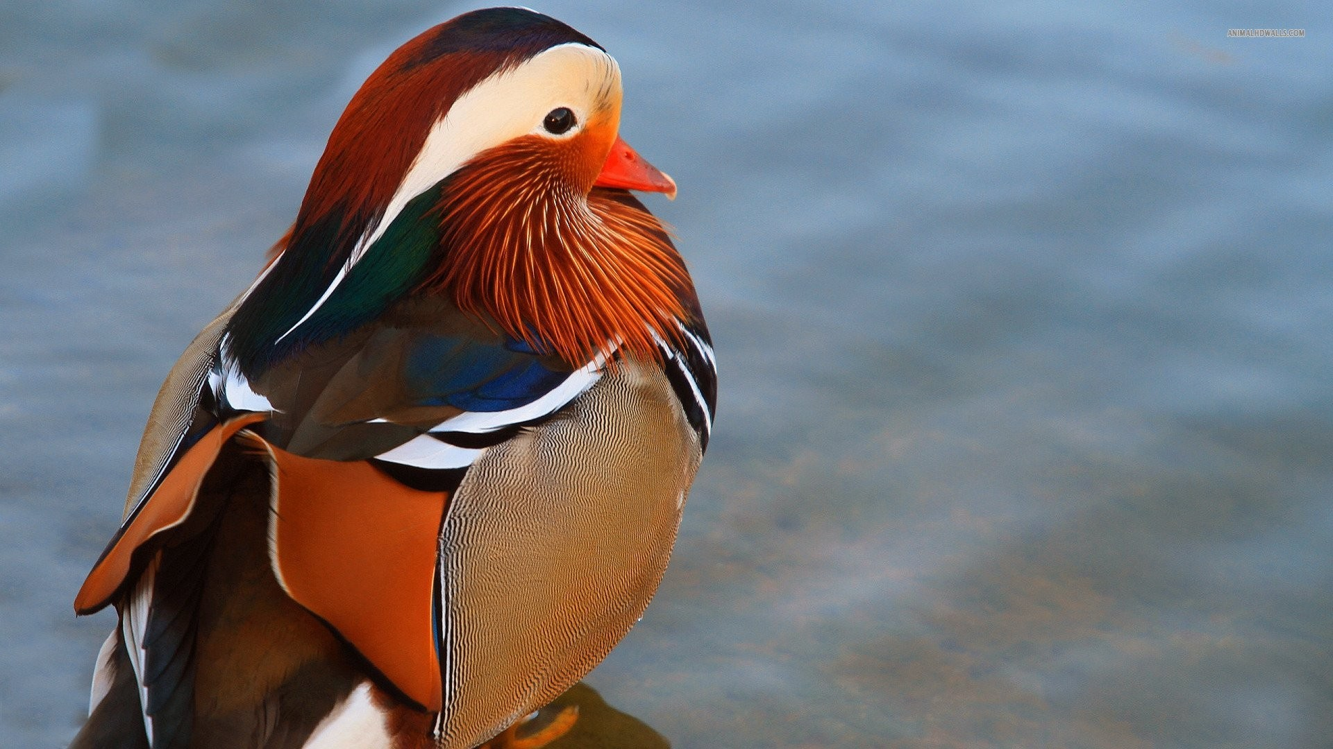 Res: 1920x1080, Ducks Tag - Mandarin Duck Bird Ducks Image Of Flying for HD 16:9 High