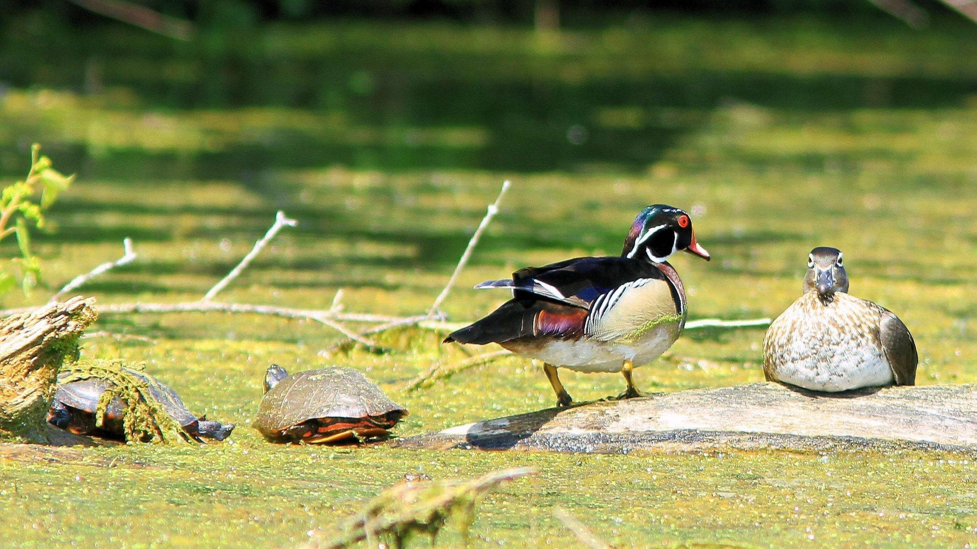 Res: 1920x1080, Duck Bird Wood Ducks Baby Images Free