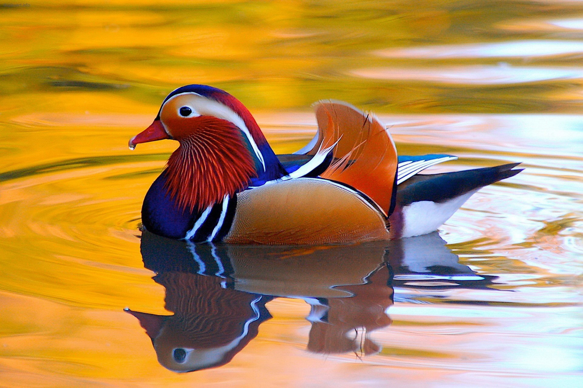 Res: 1920x1278, Animal - Mandarin Duck Animal Bird Duck Colorful Wallpaper