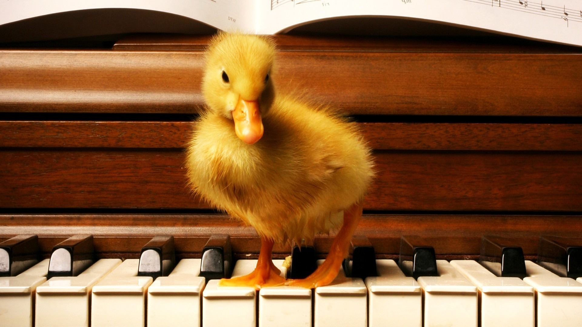 Res: 1920x1080, wood, Duck, Old Building, Piano, Birds, Baby Animals Wallpapers HD /  Desktop and Mobile Backgrounds