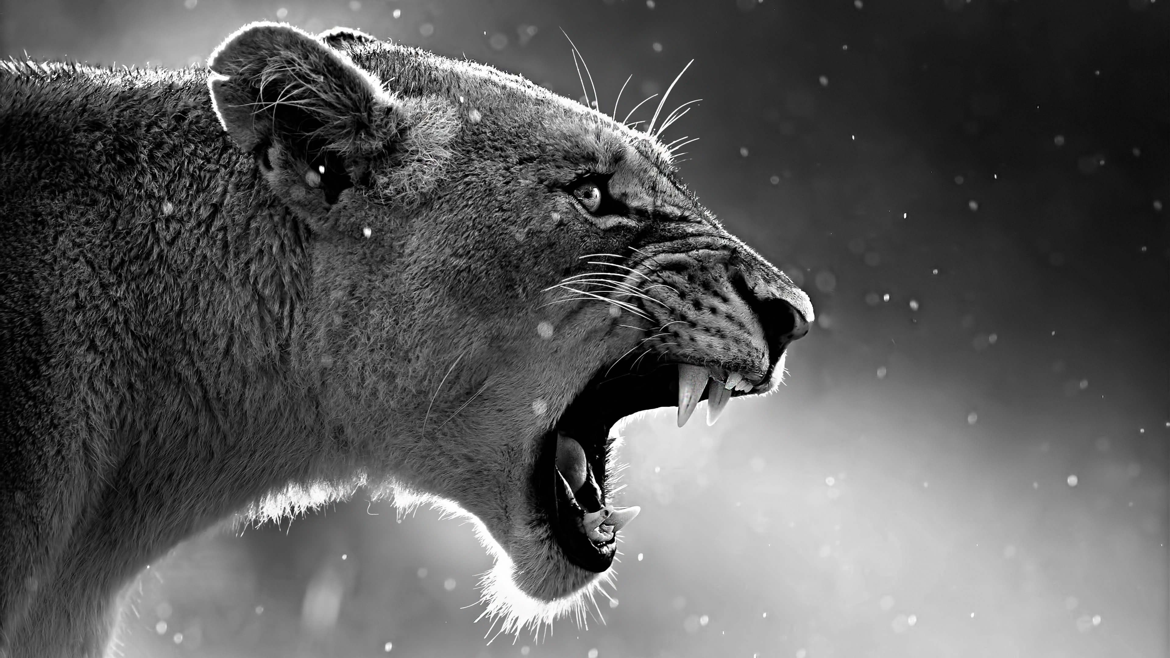 Res: 3840x2160, Lion Roaring | Animals HD 4k Wallpapers