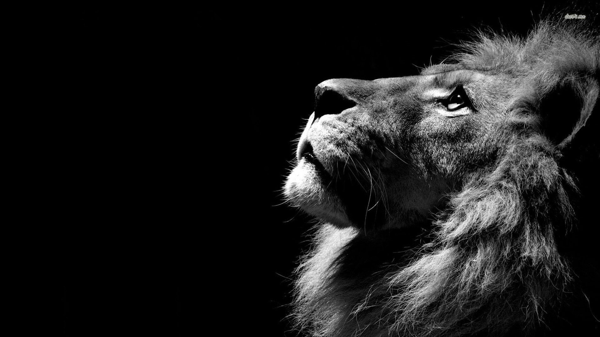 Res: 1920x1080, Lion Wallpaper Best 79 Awesome #10824 - HDWallCool