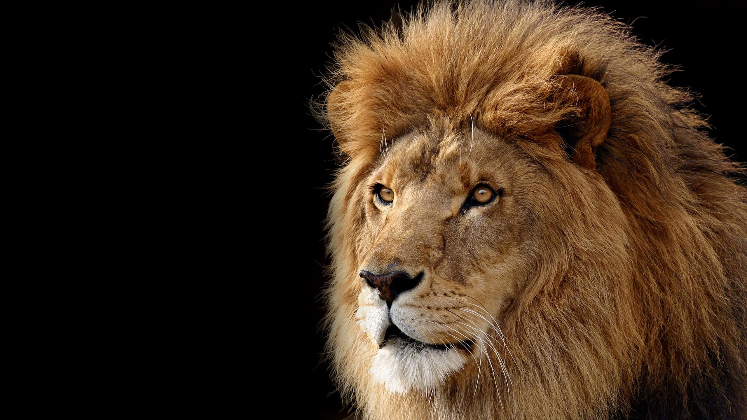 Res: 2560x1440, Lion Roaring Wallpaper Widescreen - image #786045