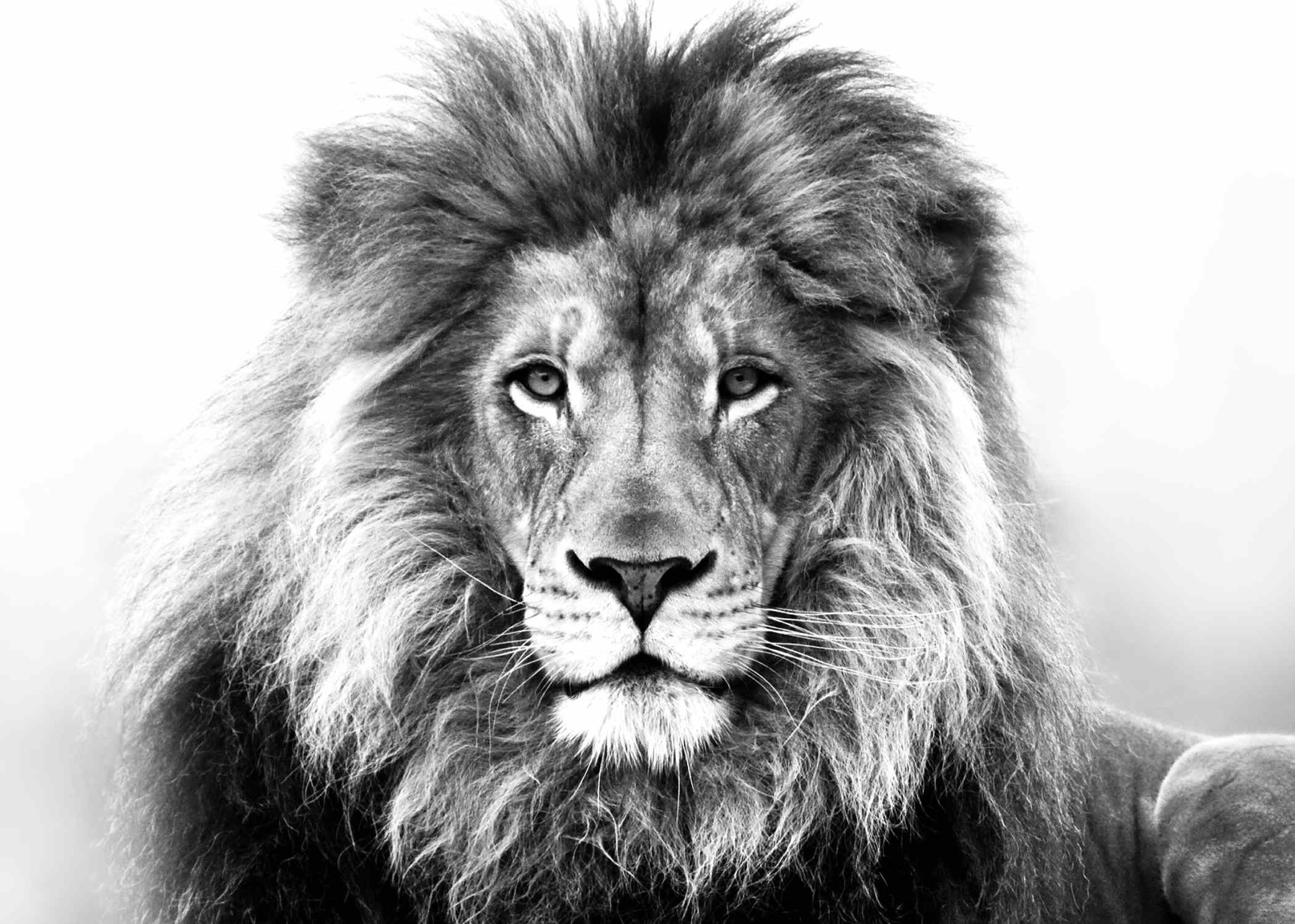 Res: 2100x1500, roaring lion photo wallpaper