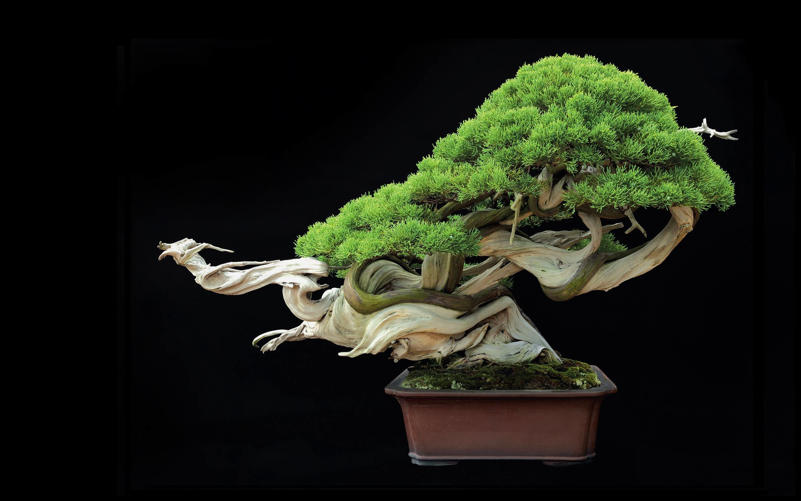 Res: 2560x1600, Tree Bonsai Tree leaves g wallpaper |  | 67870 | WallpaperUP
