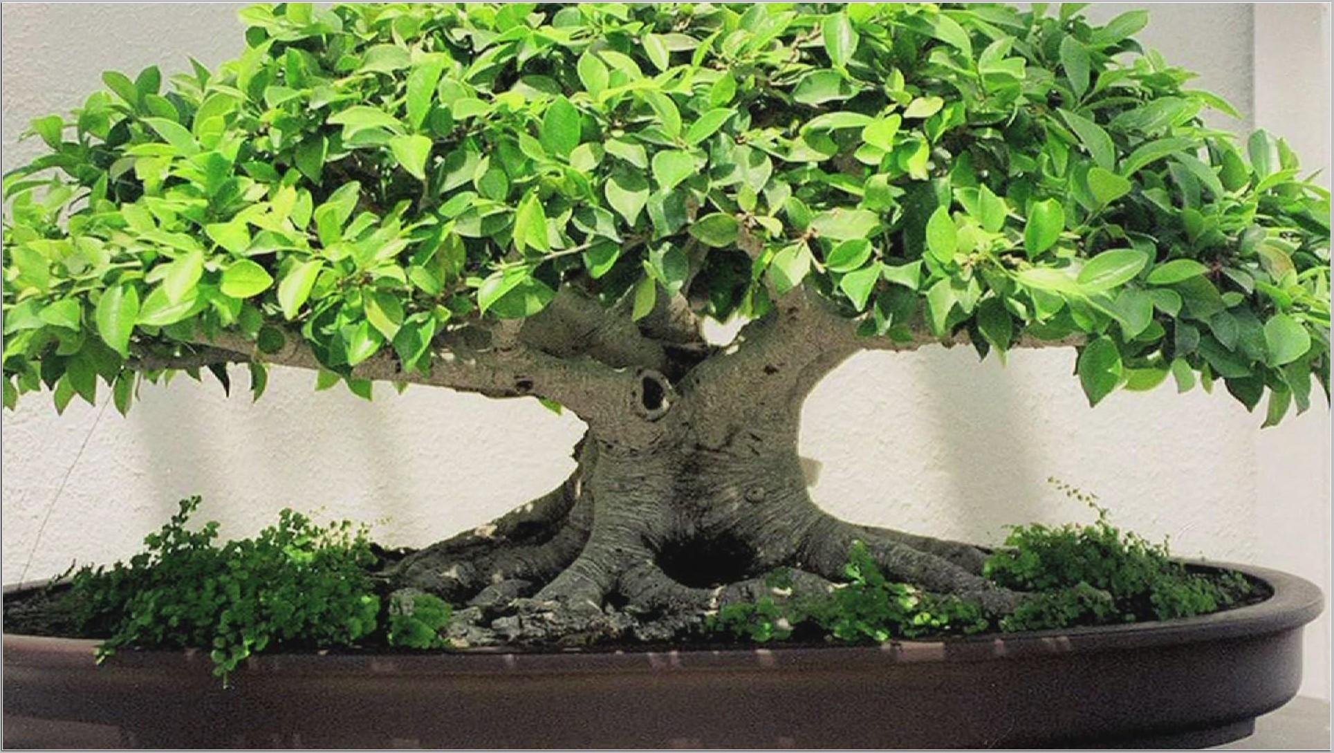 Res: 1929x1089, Bonsai Tree Wallpaper Ornamental For Home