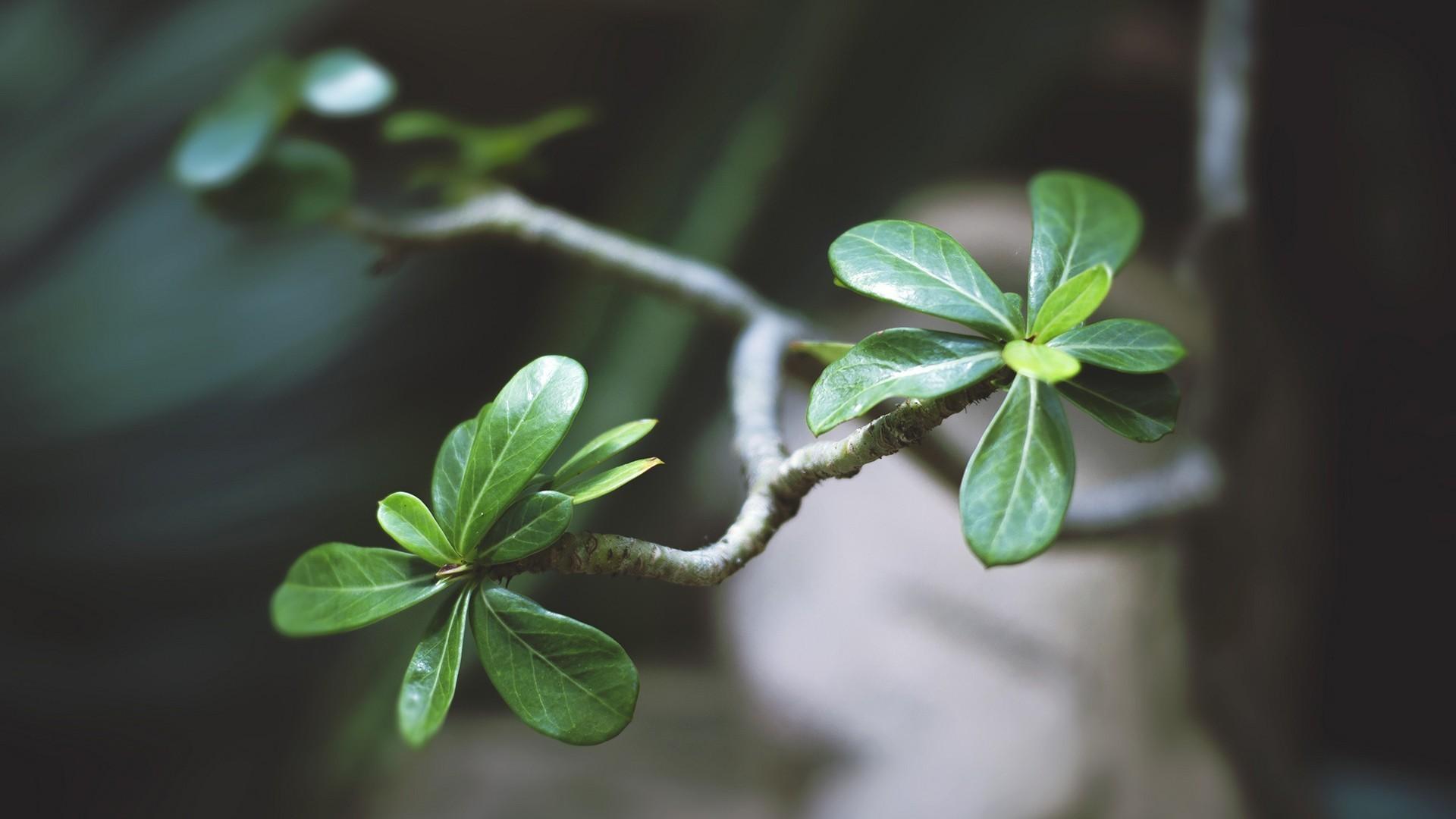 Res: 1920x1080, Bäume Blätter Bonsai wallpaper