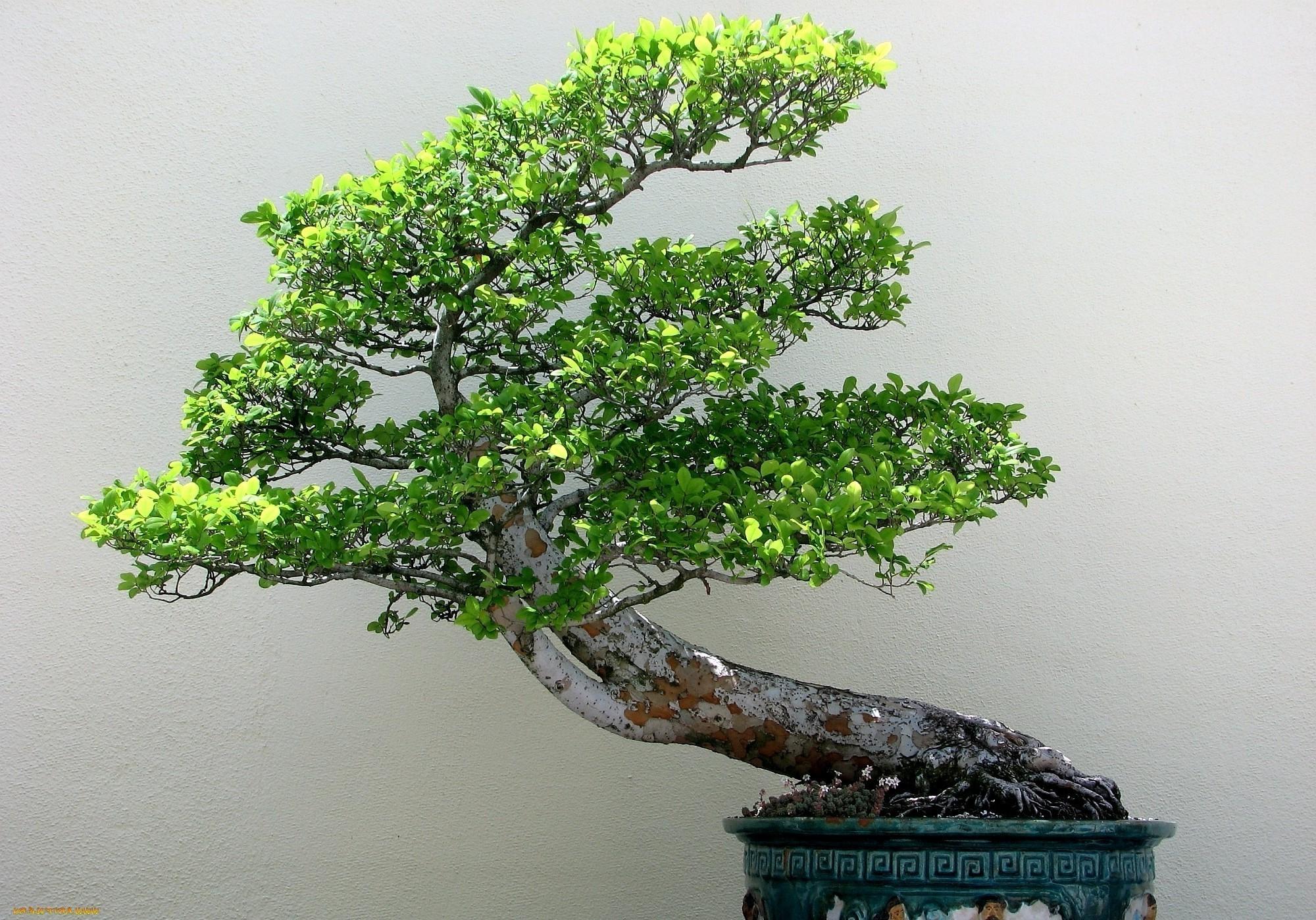 Res: 2000x1400, bonsai, Plants, Trees, Nature