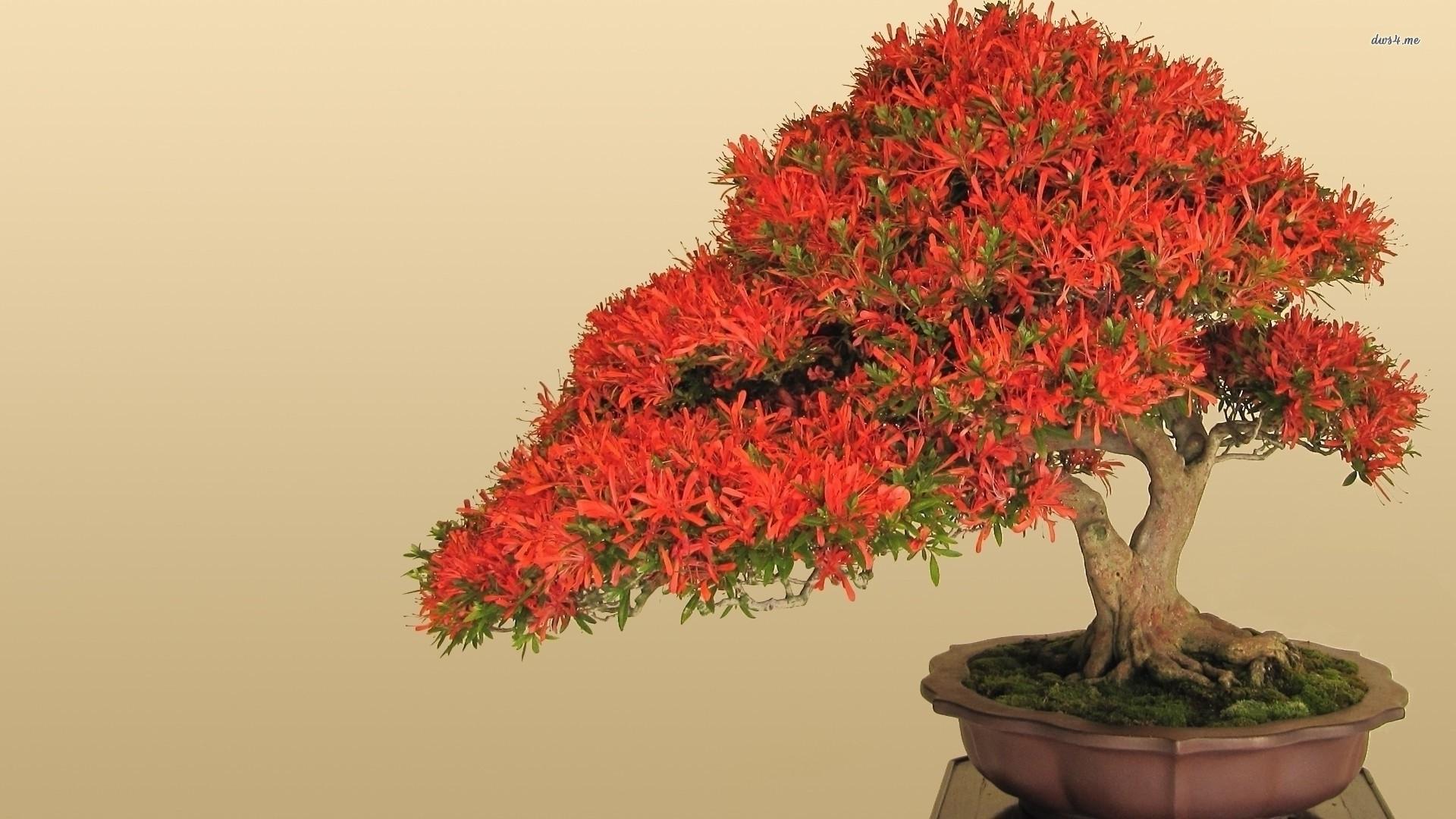 Res: 1920x1080, ... Red bonsai wallpaper  ...