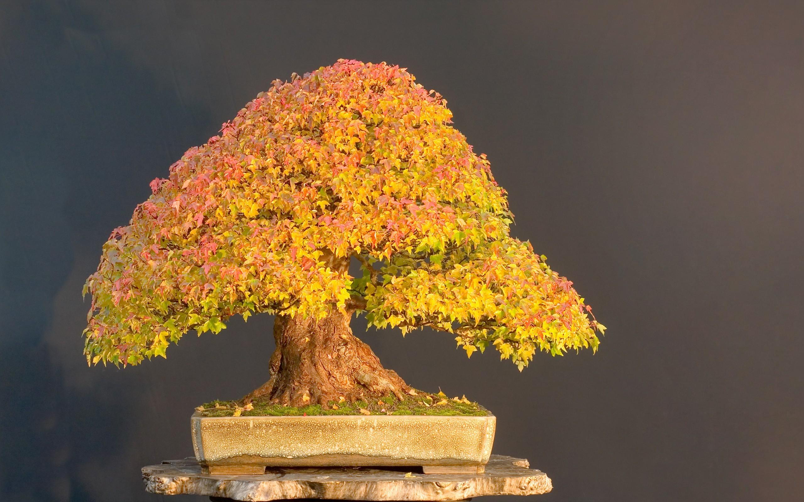 Res: 2560x1600, Bild: Bonsai-Baum wallpapers and stock photos. Â«