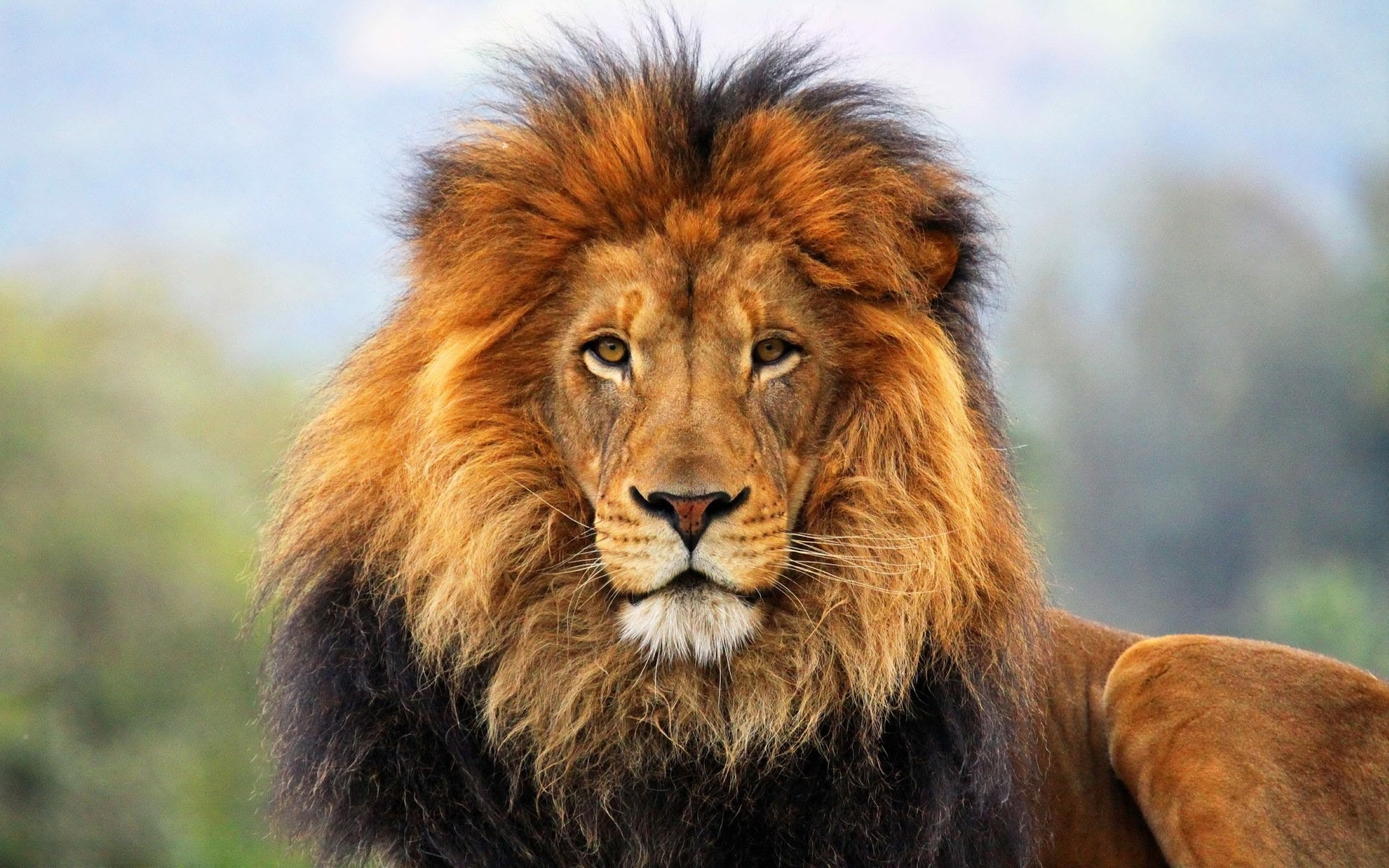 Res: 1920x1200, HQ Lion HD wallpapers Wallpapers | File 481.68Kb