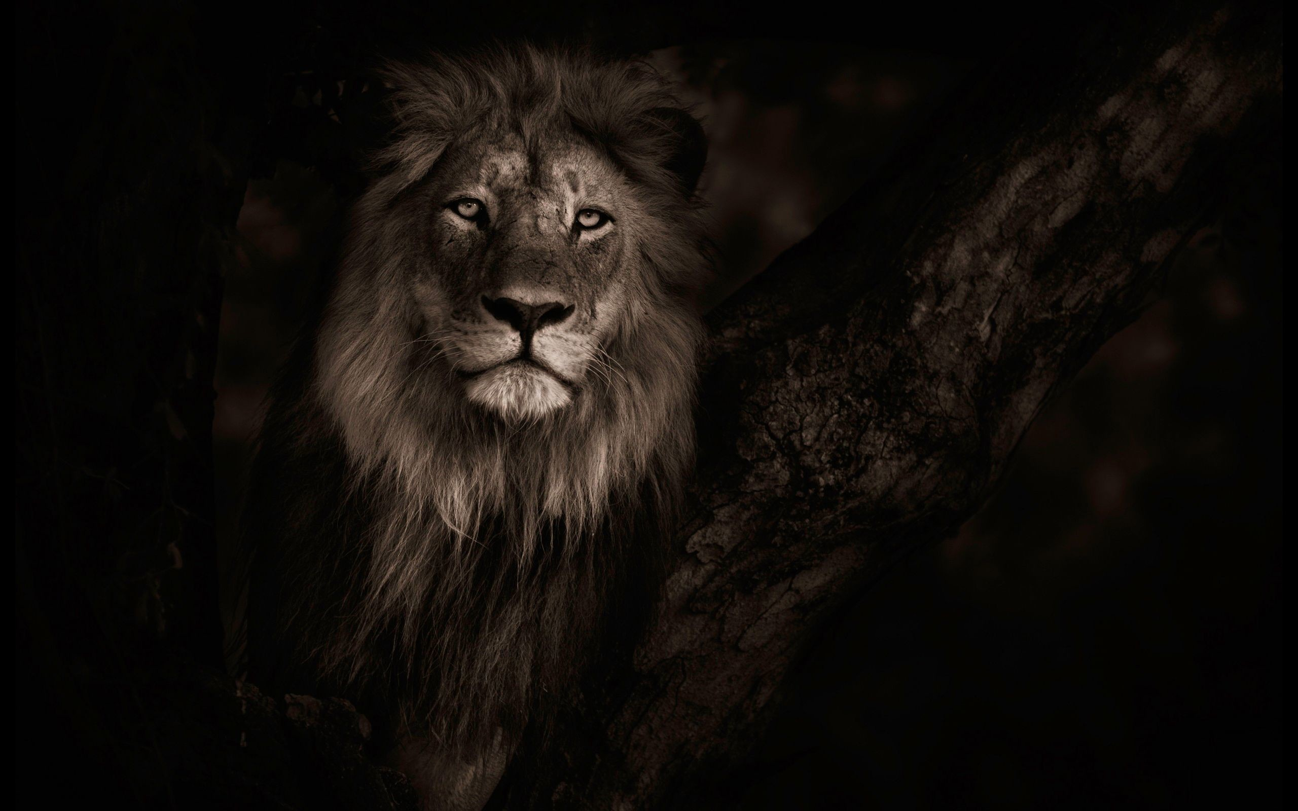 Res: 2560x1600, lion hd wallpapers ›› Page 0 | HDWallCool