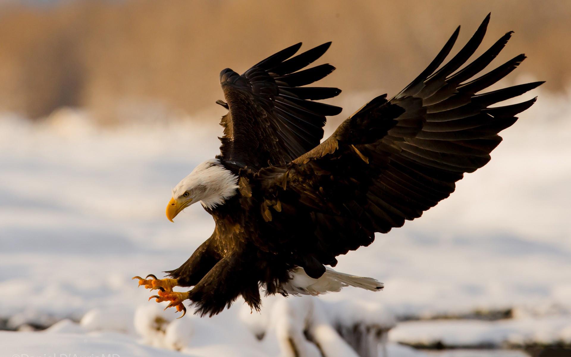 Res: 1920x1200, Bald Eagle Desktop Wallpaper 50053