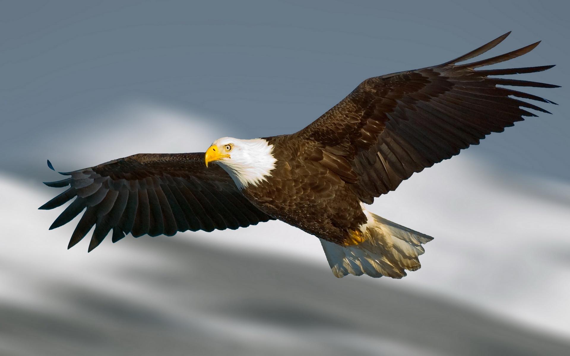 Res: 1920x1200, Eagle HD Wallpaper