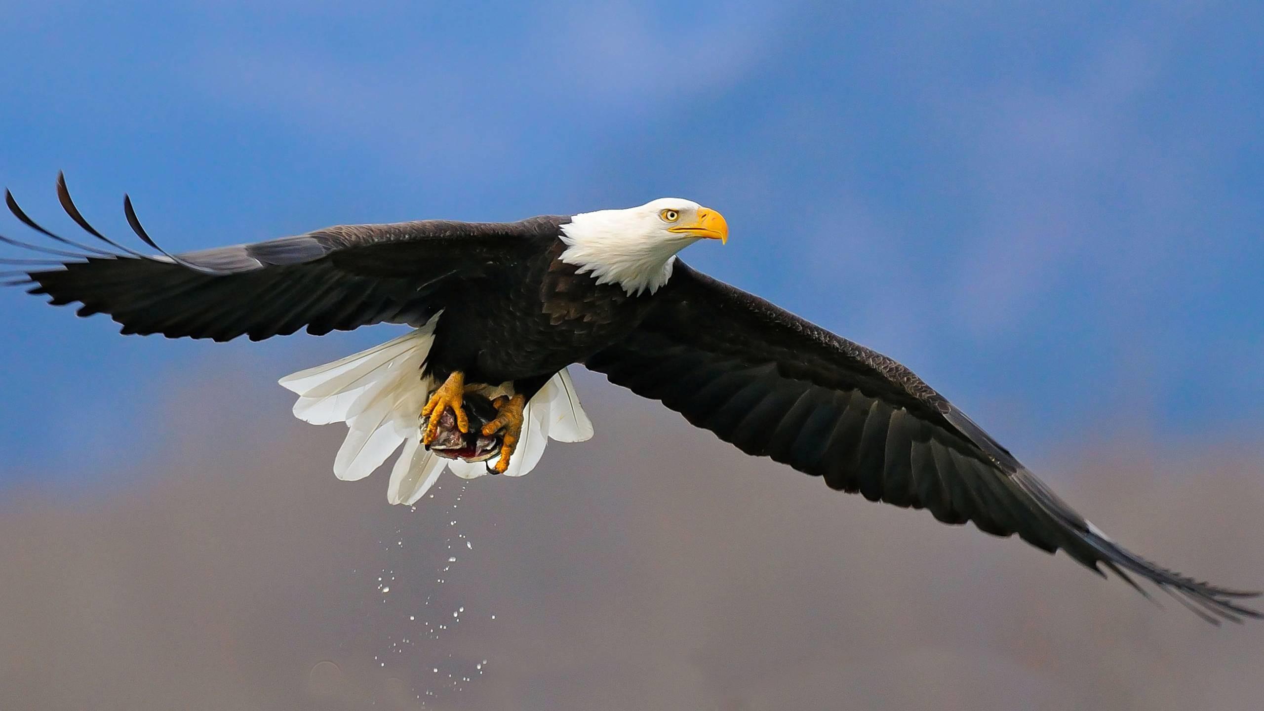 Res: 2560x1440, Bald Eagle Wallpaper HD Images