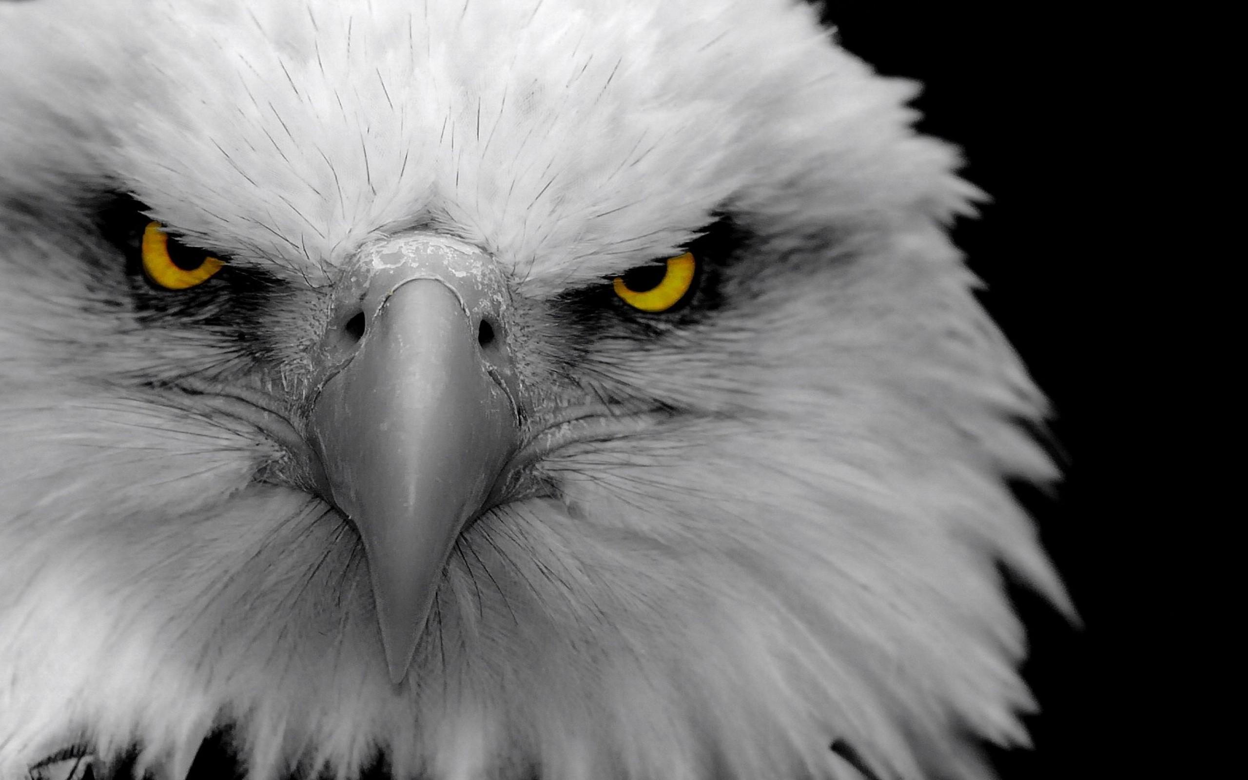 Res: 2560x1600, Eagle Hd Walpaper 33