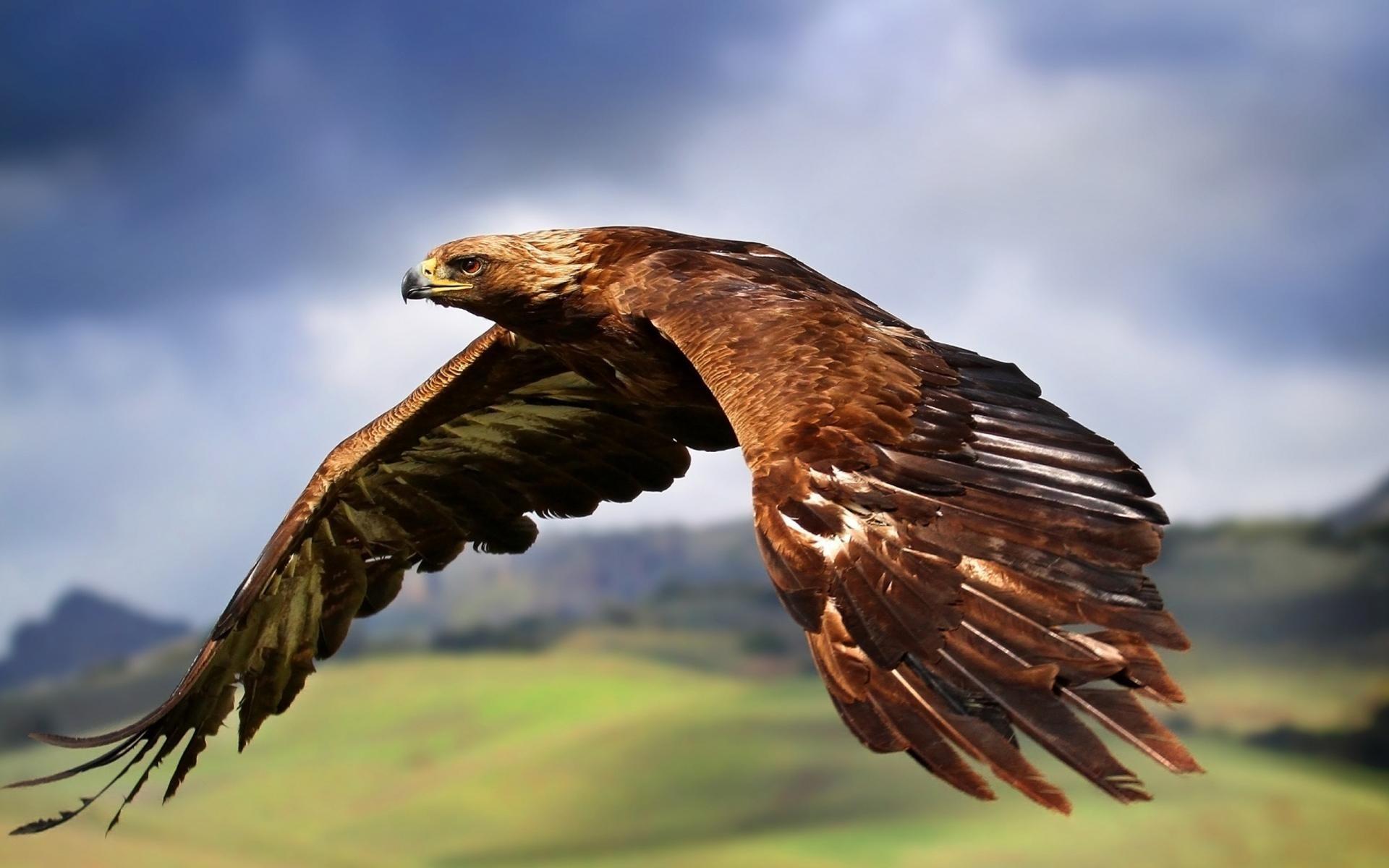 Res: 1920x1200, Golden Eagle