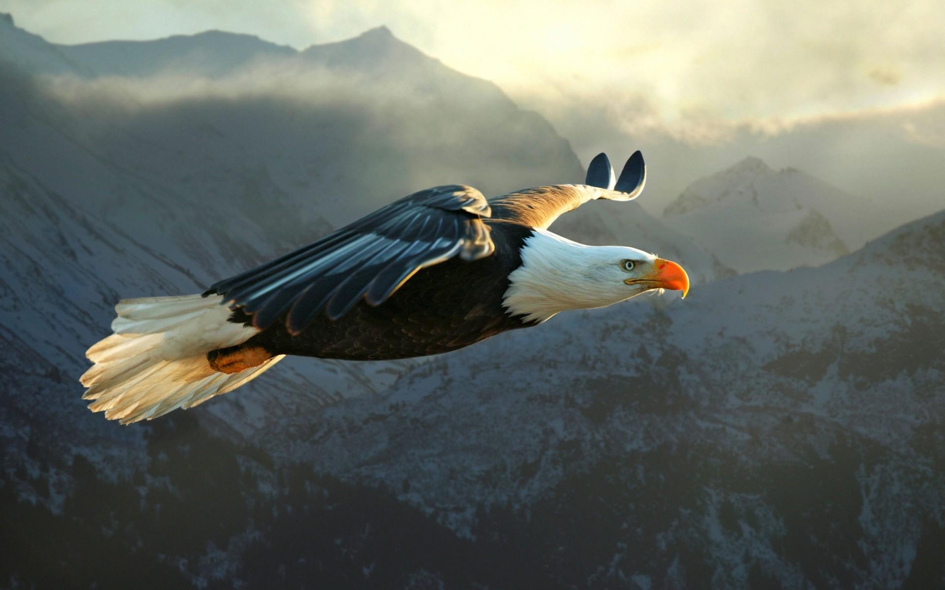 Res: 1920x1200, Eagle Wallpaper 50057