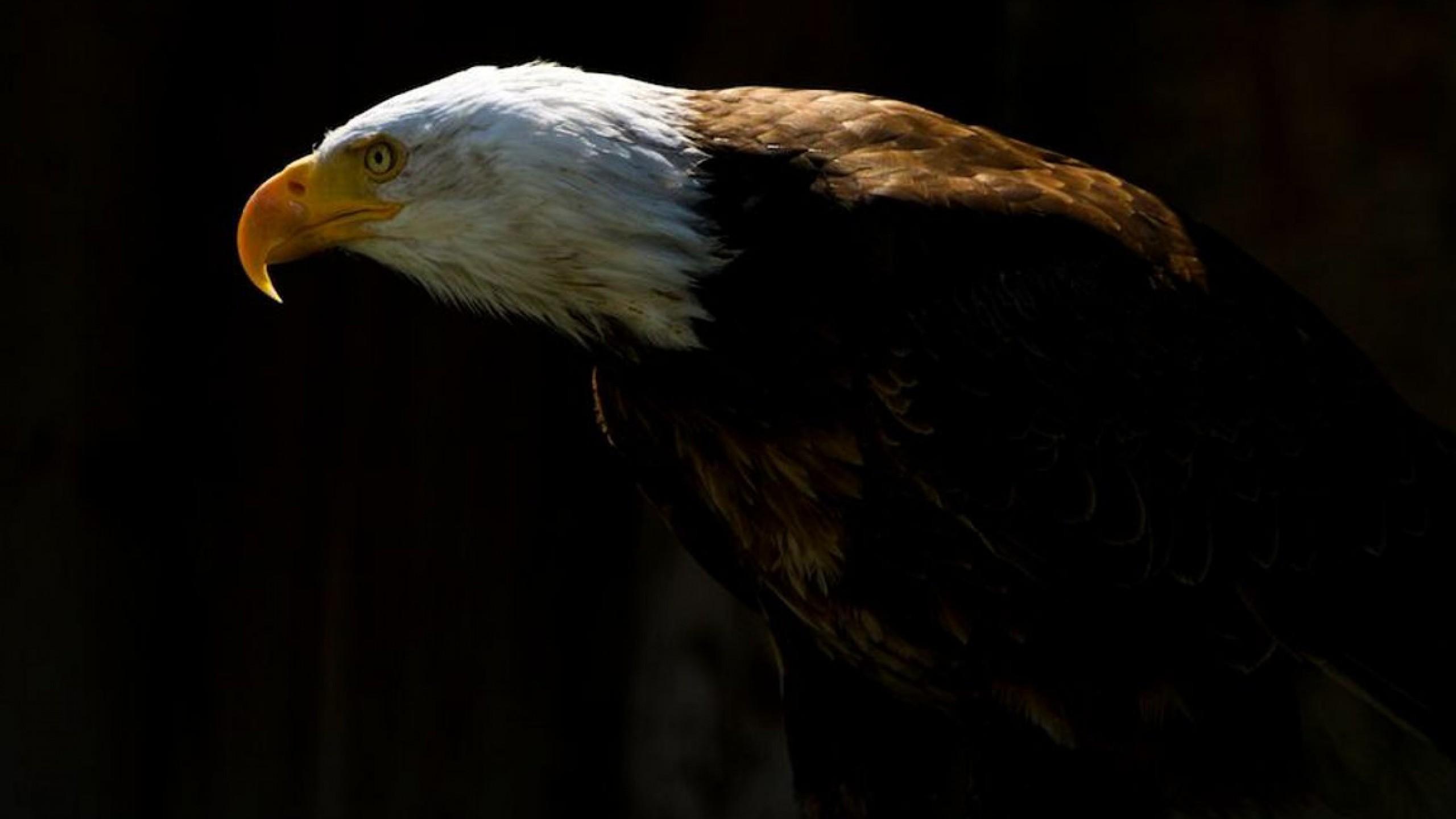 Res: 2560x1440, Bald Eagle Wallpaper HD 19761