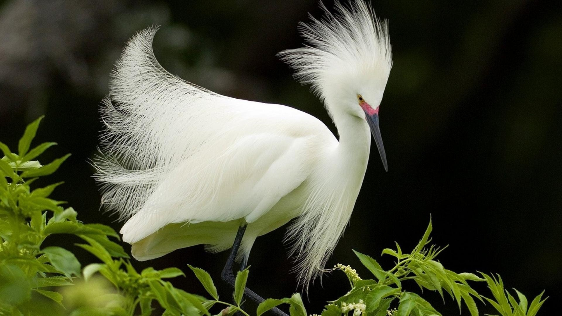 Res: 1920x1080, White African Heron