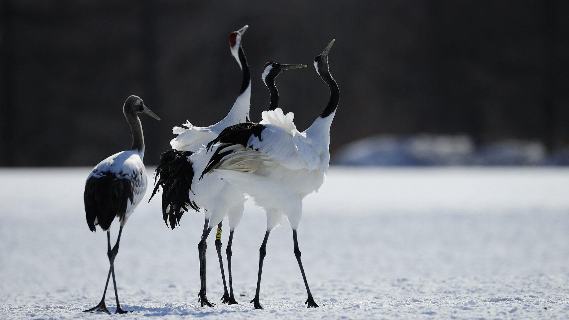Res: 1920x1080, Heron Tag - Heron Dance Dancing Animals Flock Crane Winter Birds Photos  Love for HD 16