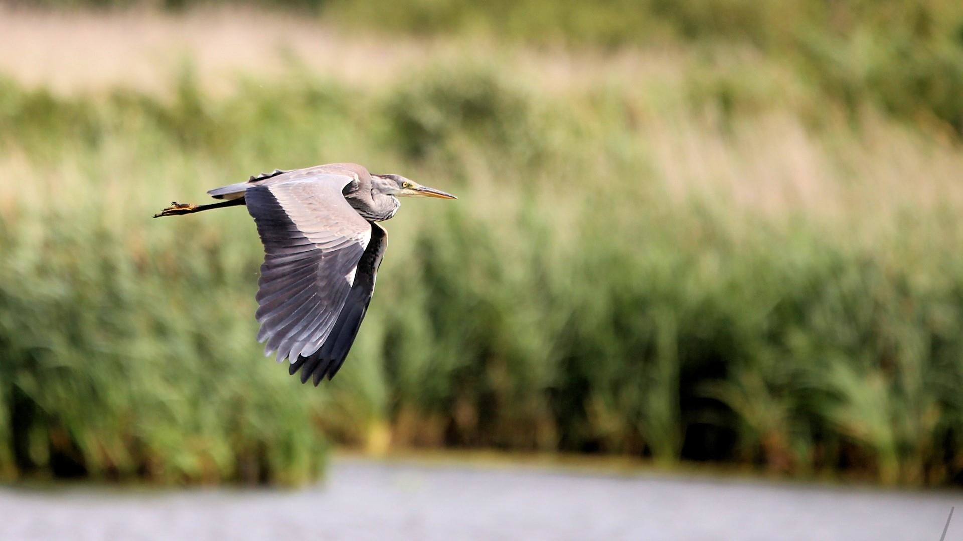 Res: 1920x1080, Grey Heron Wallpaper | Wallpaper Studio 10 | Tens of thousands HD and  UltraHD wallpapers for Android, Windows and Xbox