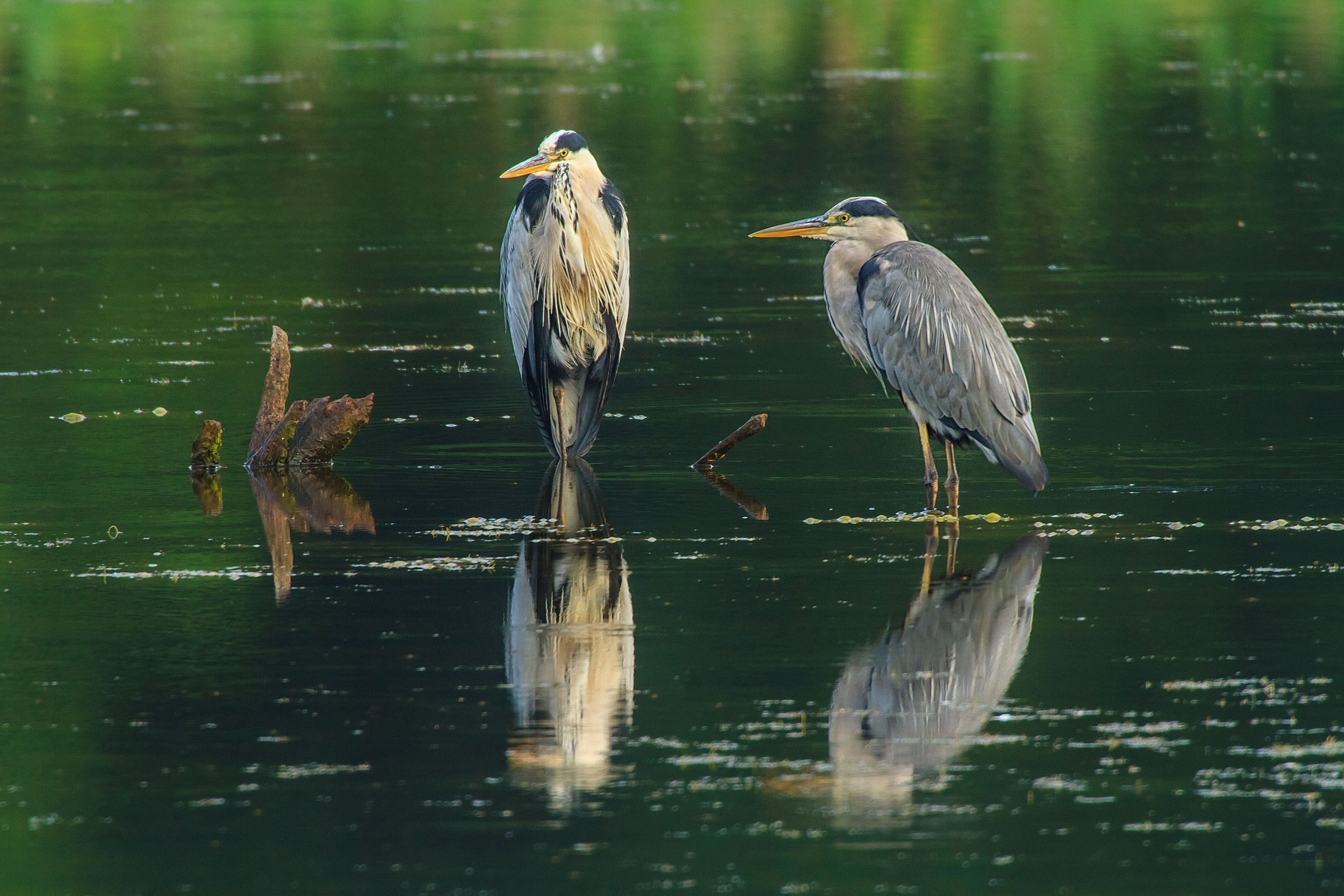 Res: 2048x1365, animals, Nature, Herons, Birds, Water Wallpapers HD / Desktop and Mobile  Backgrounds