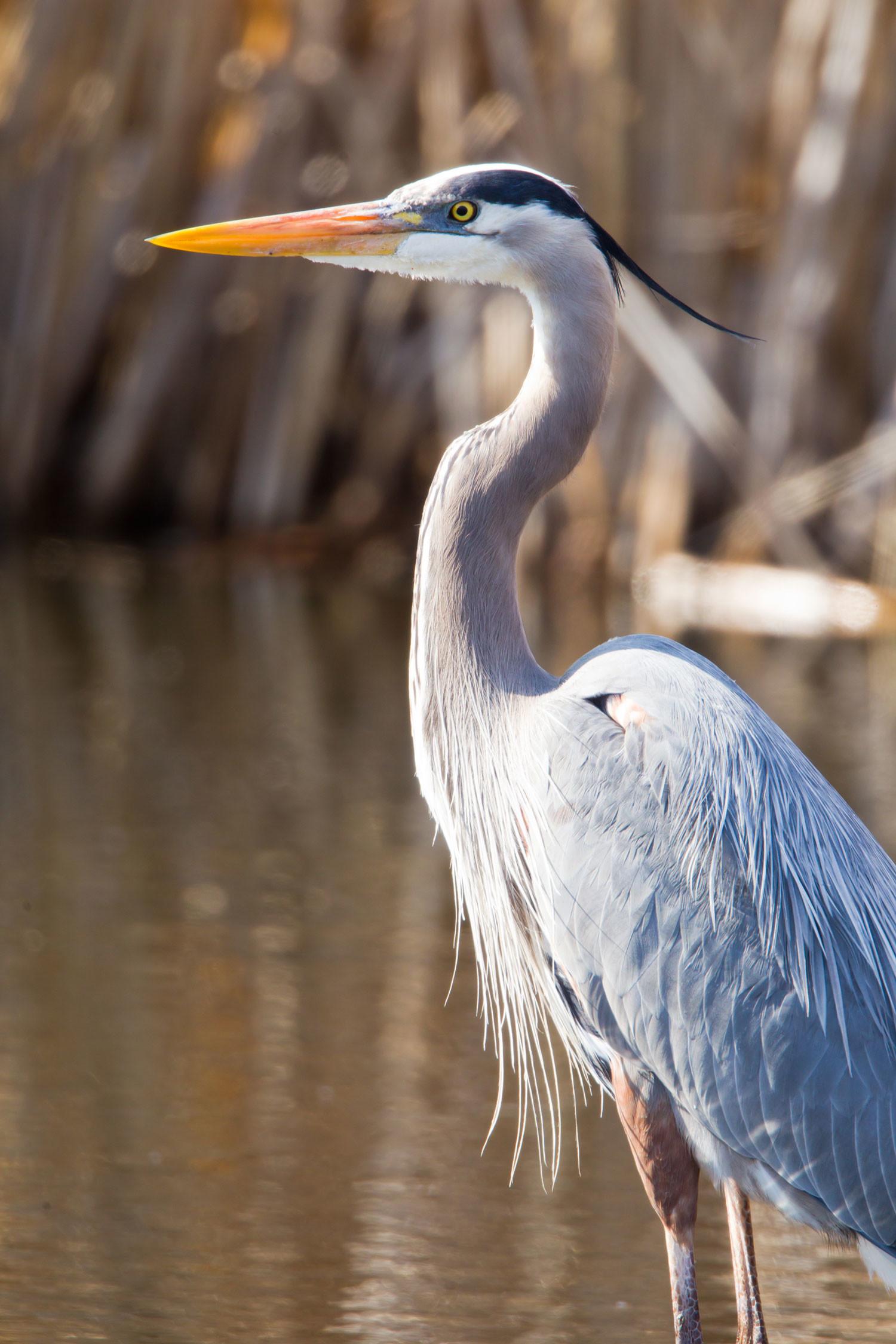Res: 1500x2250, Heron Birds Photos