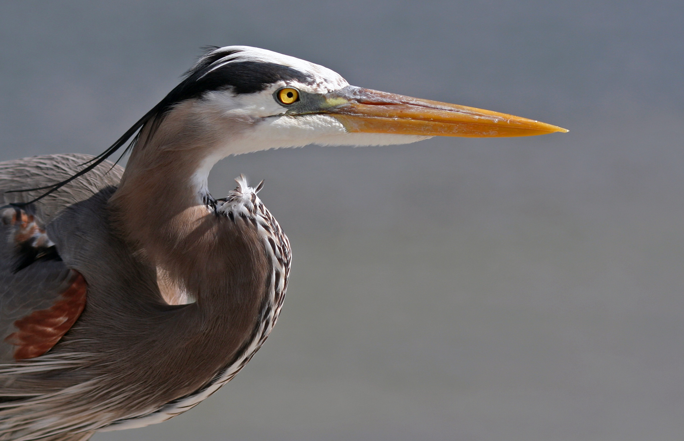 Res: 2315x1494,  > Blue Heron Wallpapers